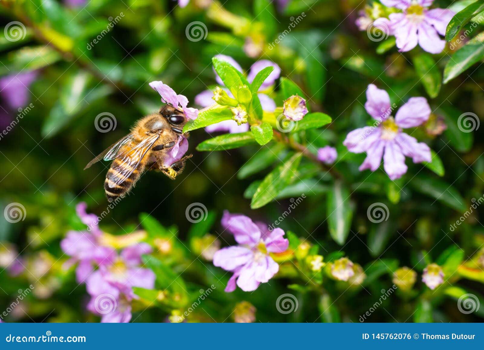 Abeille mangeant le pollen