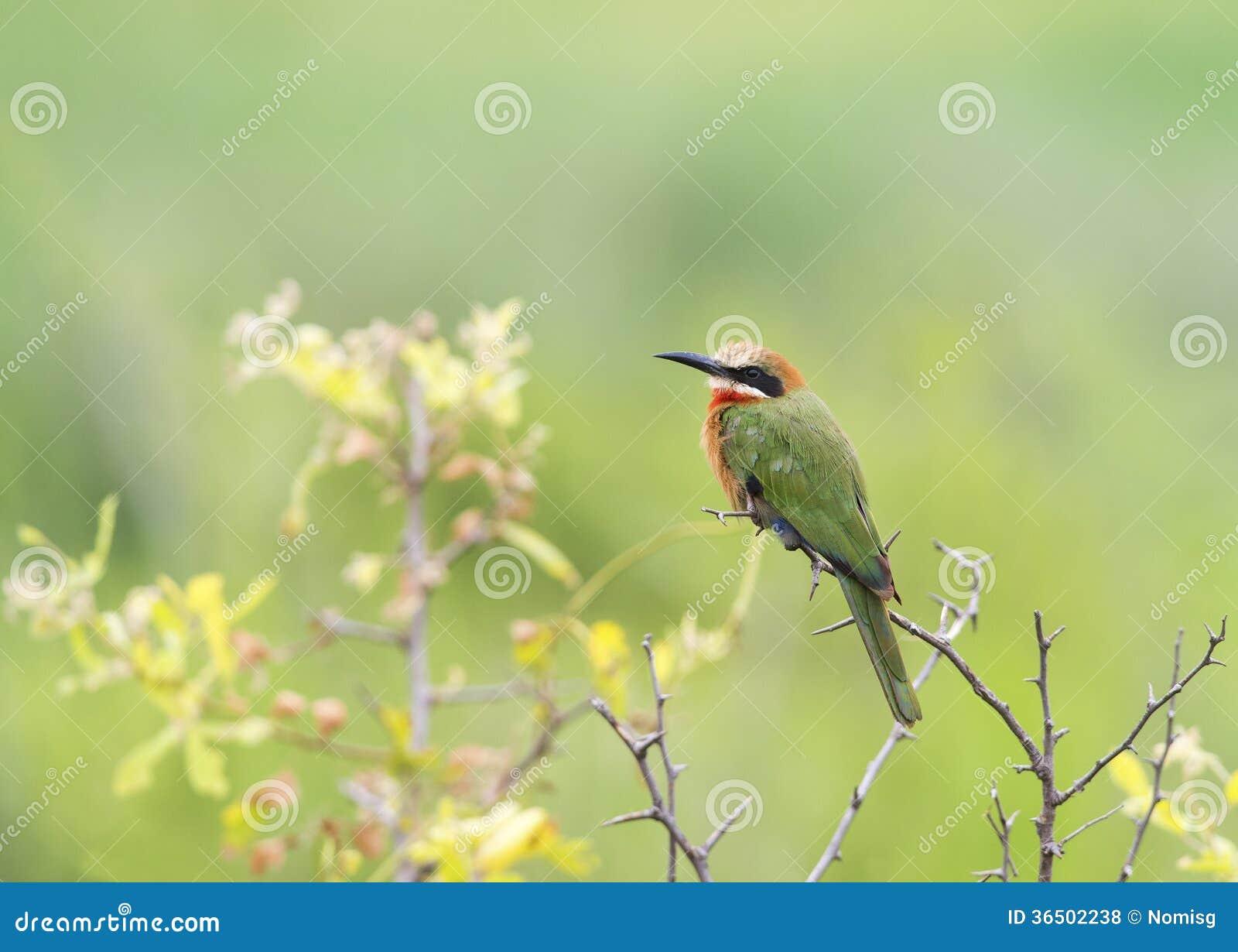 Abeille-mangeur dans le buisson sec