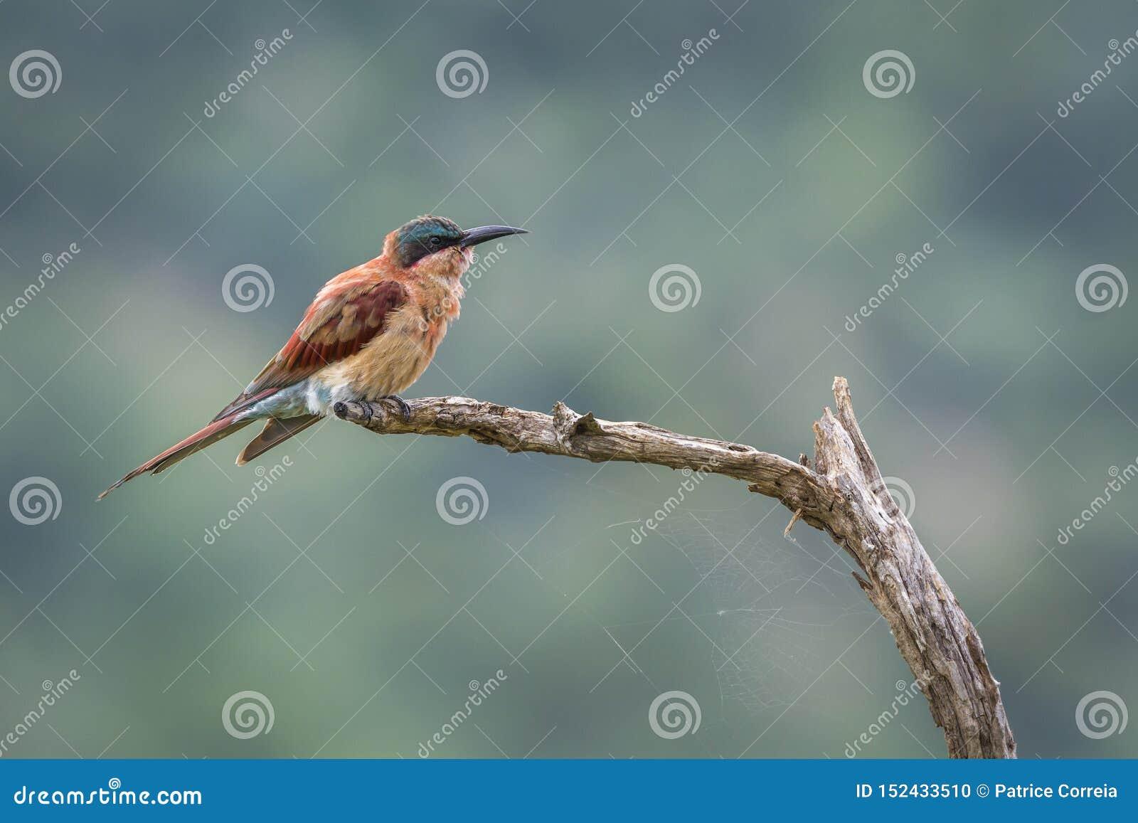 Abeille-mangeur du sud de carmin en parc national de Kruger, Afrique du Sud