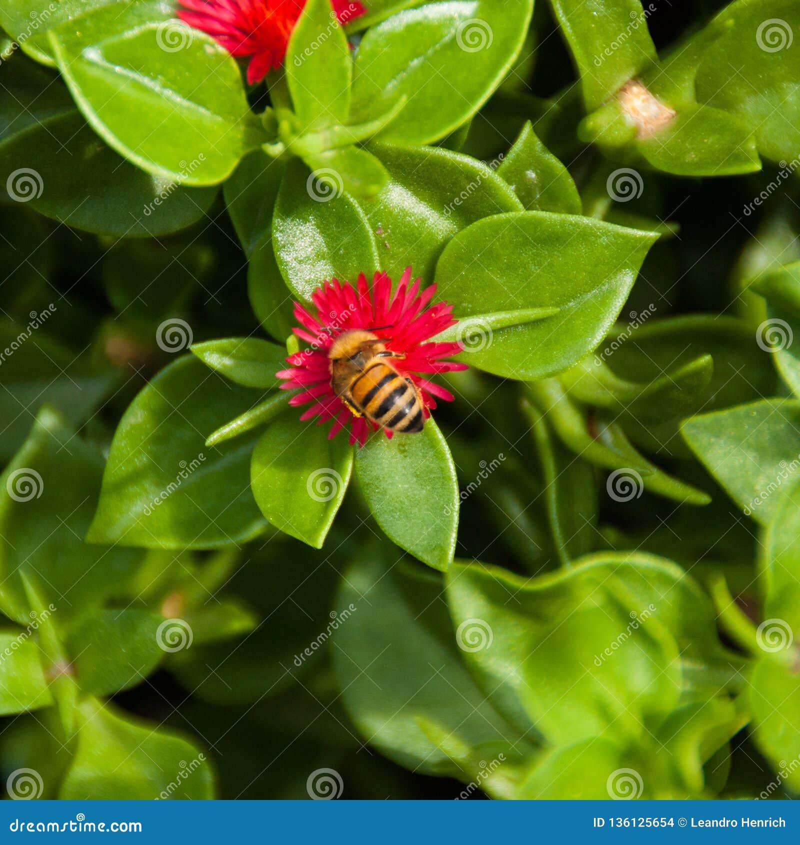 Abeille pollinisant l arrière cour