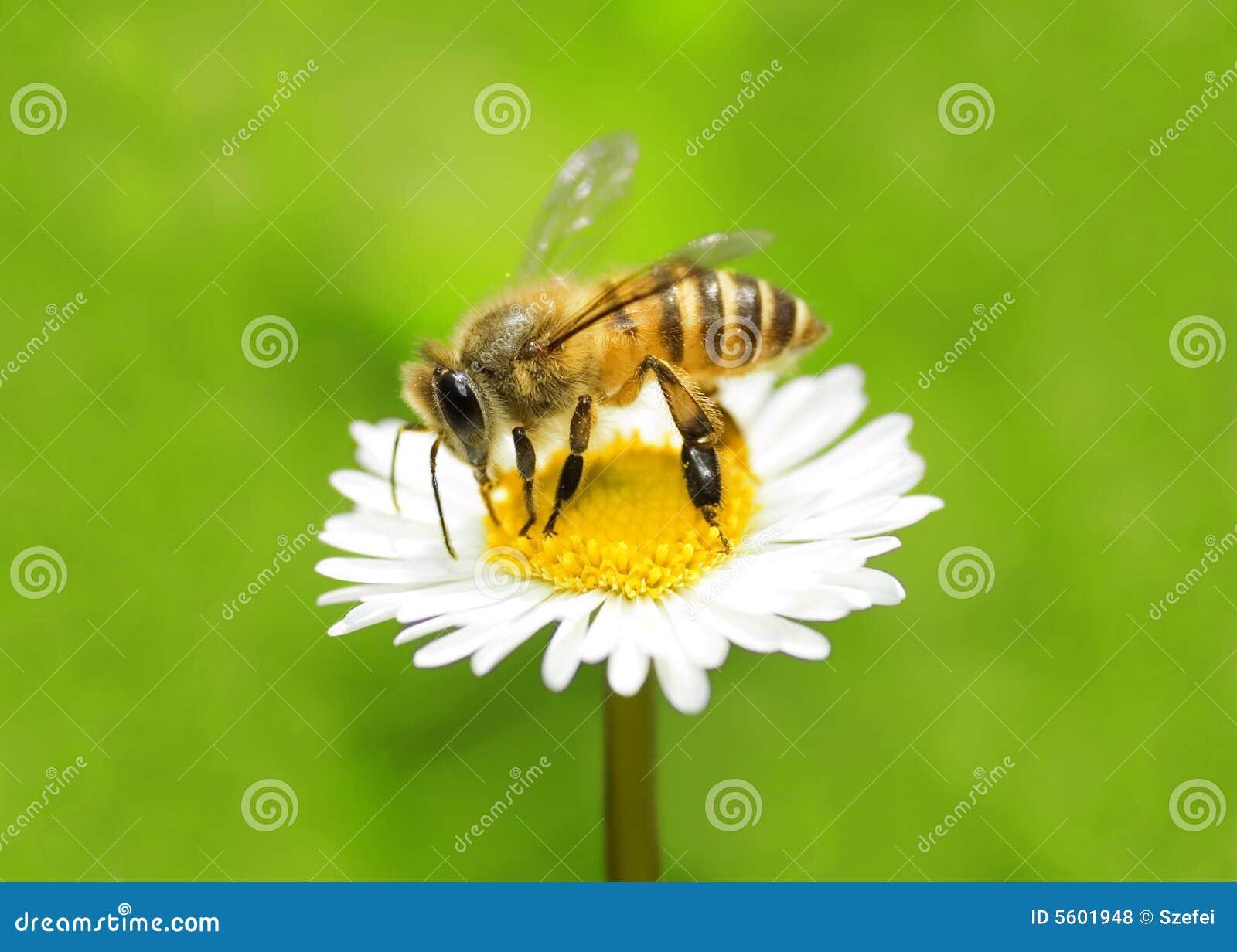 Abeille rassemblant le miel
