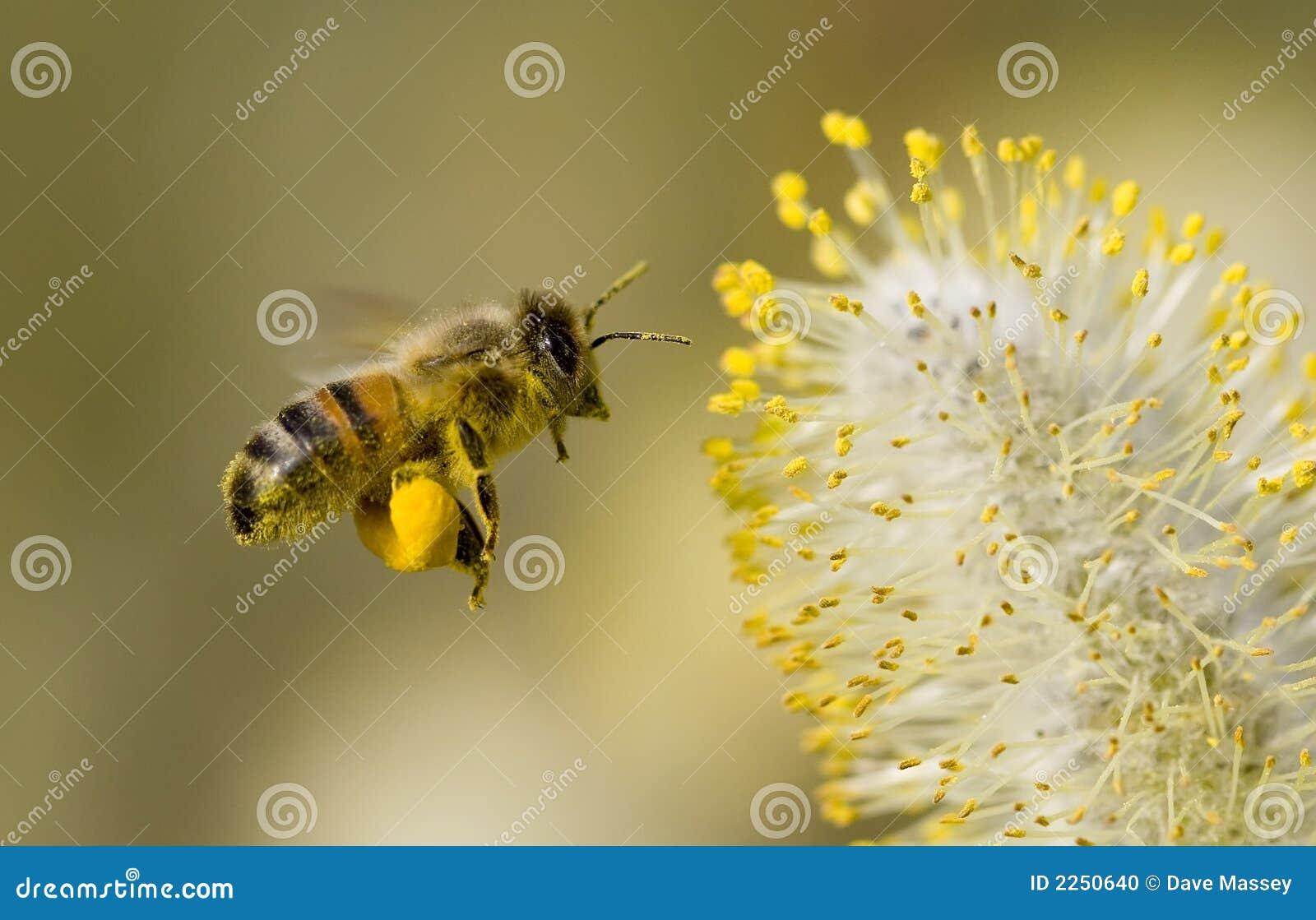 Abeille rassemblant le pollen