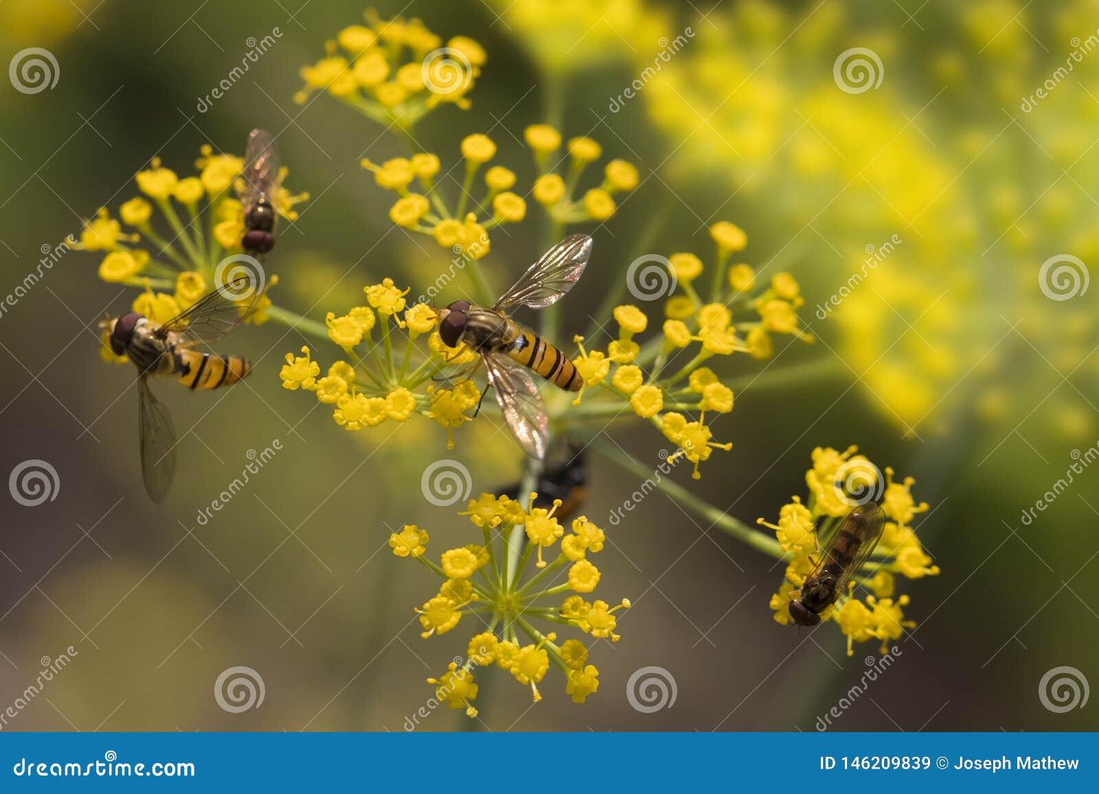 Abeille sur la belle fleur de cumin