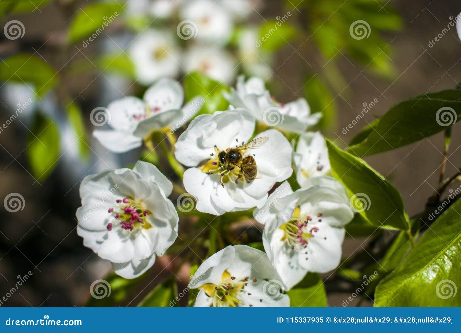 Abeille sur la fleur blanche