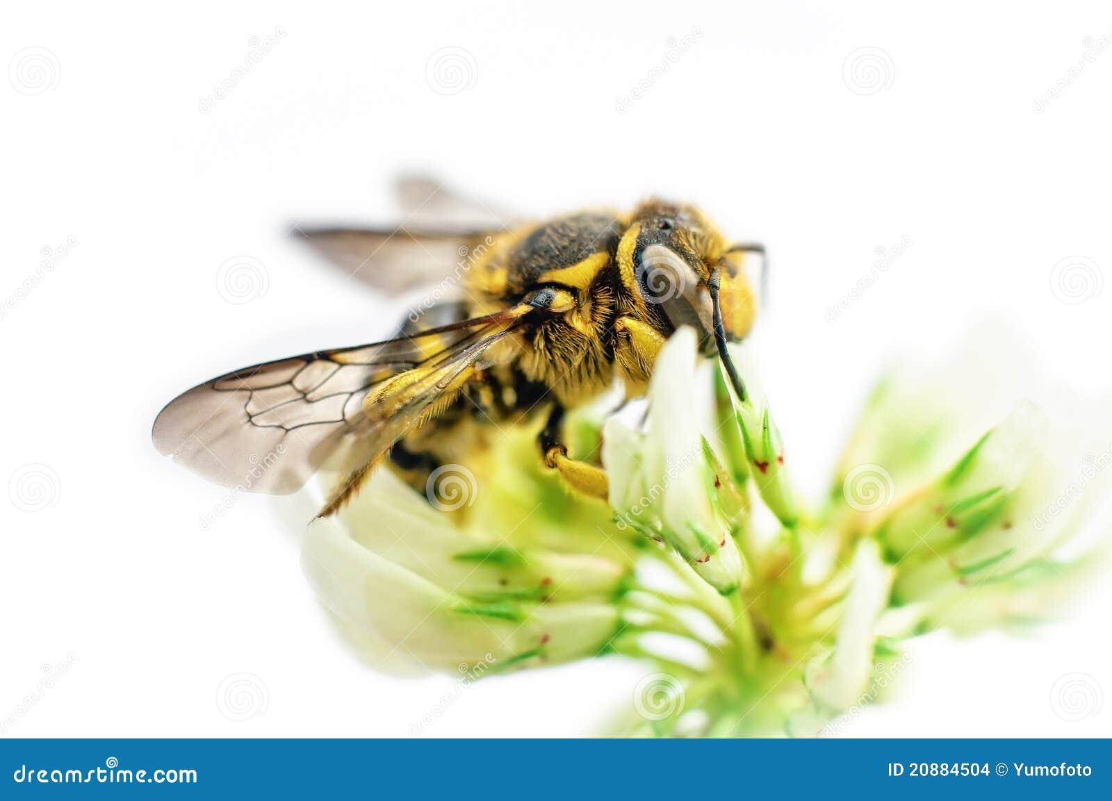 Abeille sur la fleur de tréfle blanc