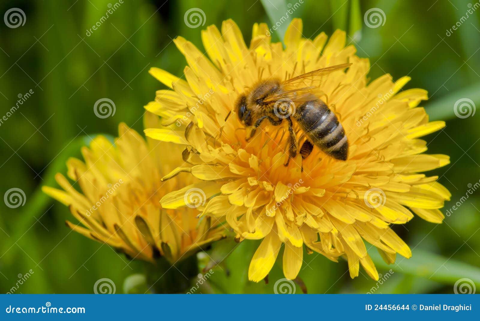 Abeille sur la fleur jaune