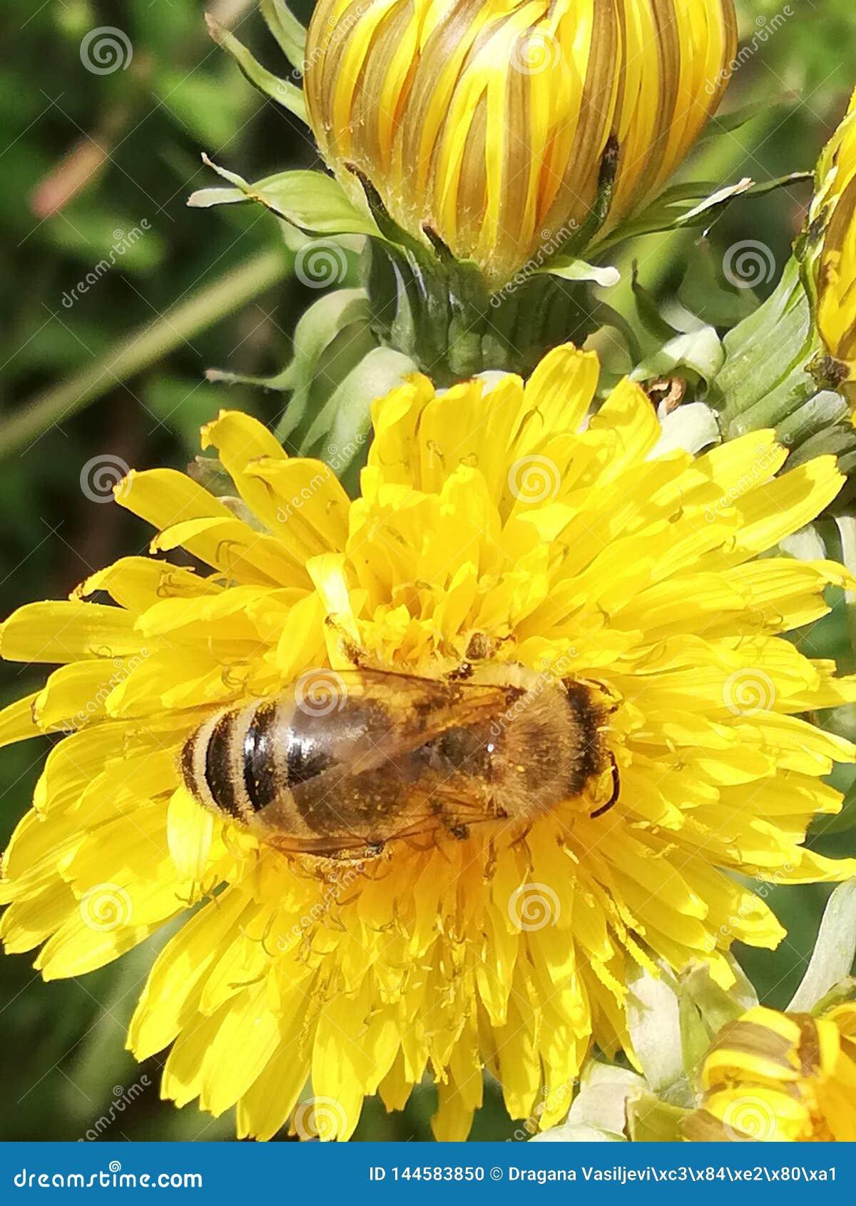 Abeille sur le beurre de fleur
