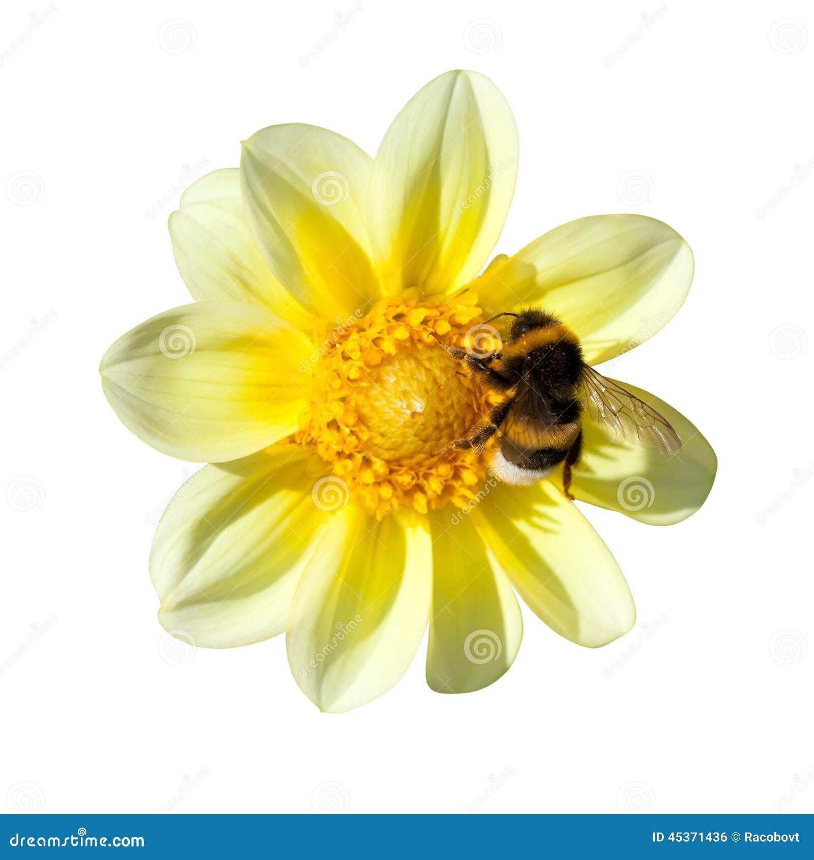 Abeille sur le dahlia jaune