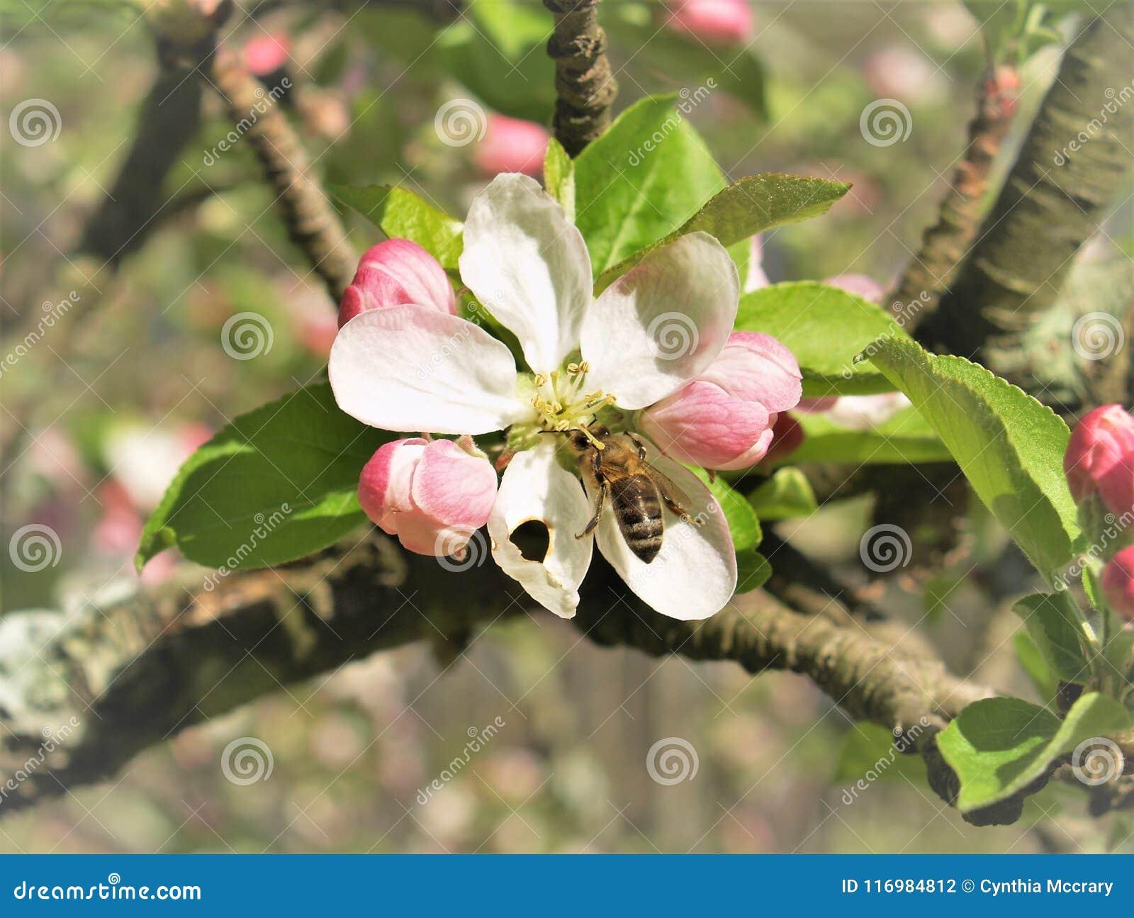 Abeille sur une fleur de pomme