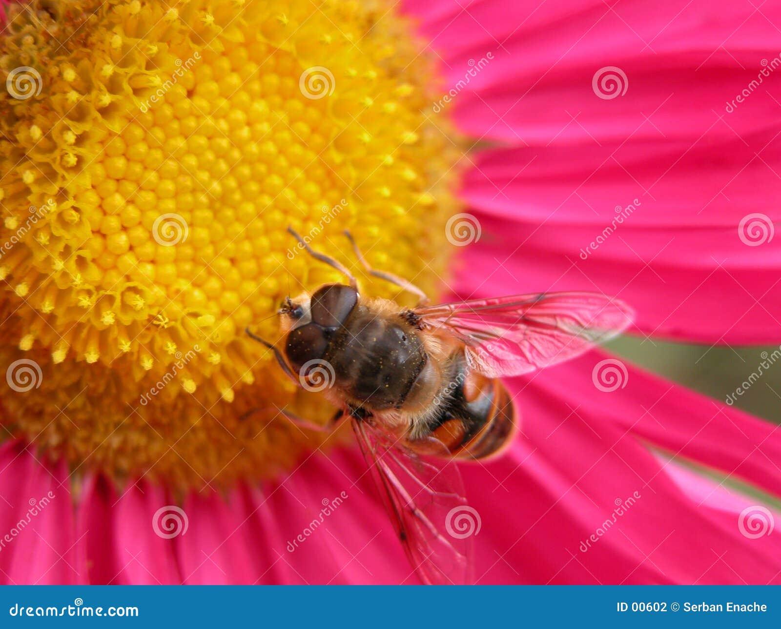 Abeille sur une fleur rose 1