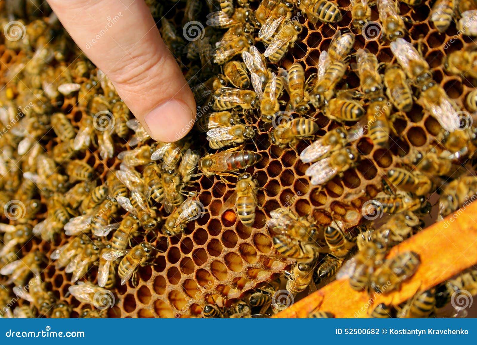 abeilles  u00e0 l u0026 39 int u00e9rieur d u0026 39 une ruche avec la reine des abeilles au milieu photo stock