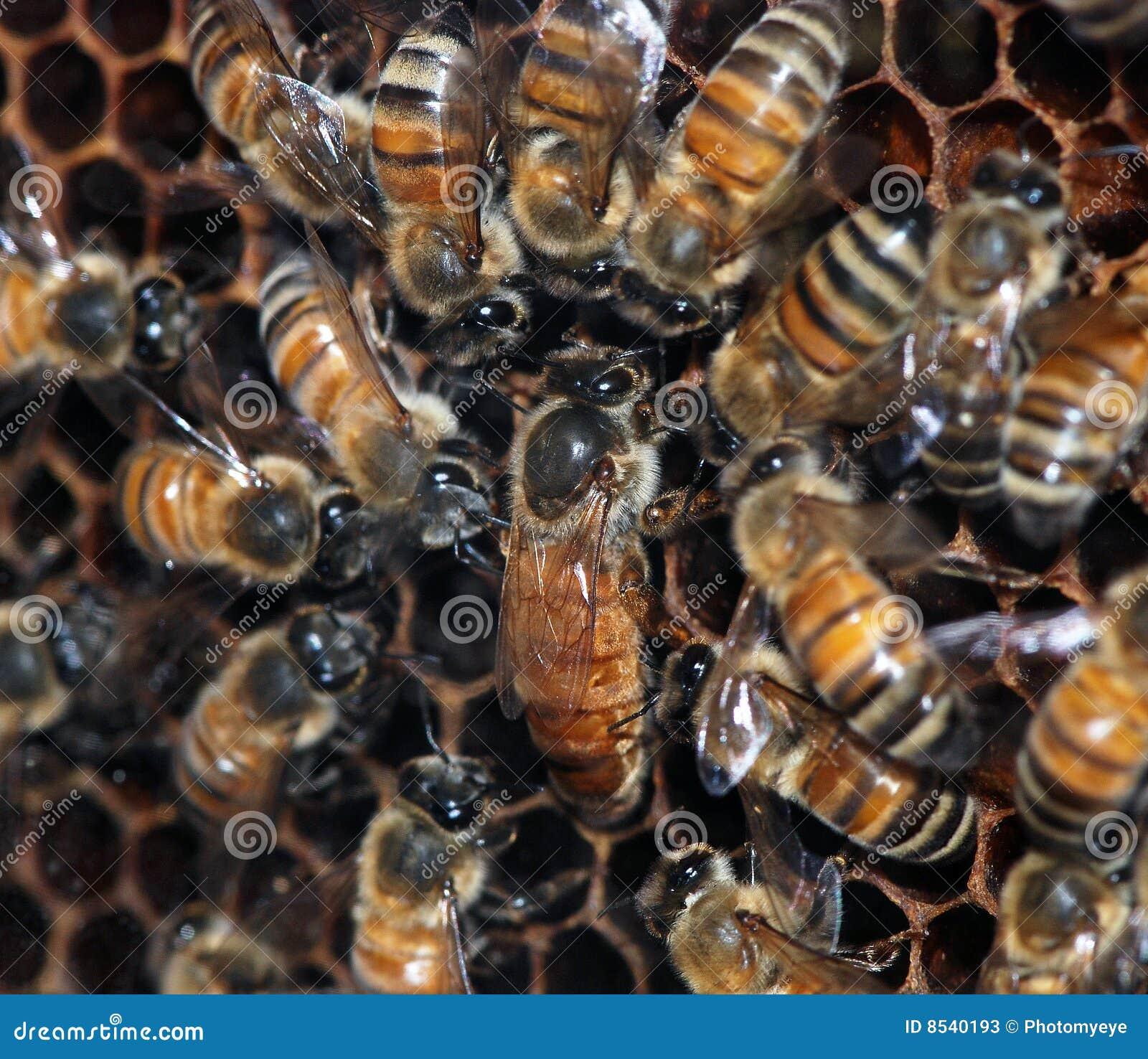 Abeilles à miel avec la reine