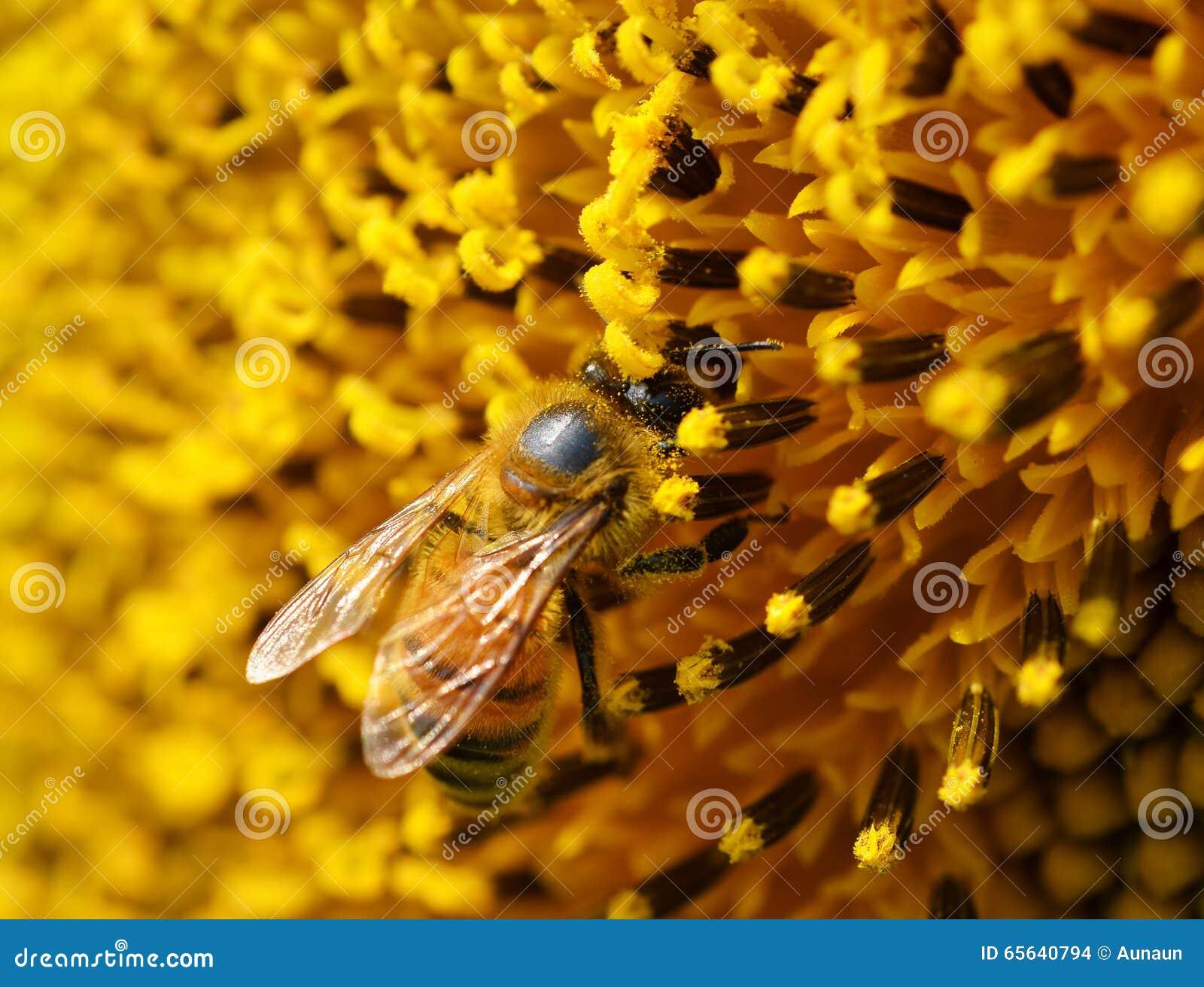 Abeilles au pollen d un tournesol dans le jardin