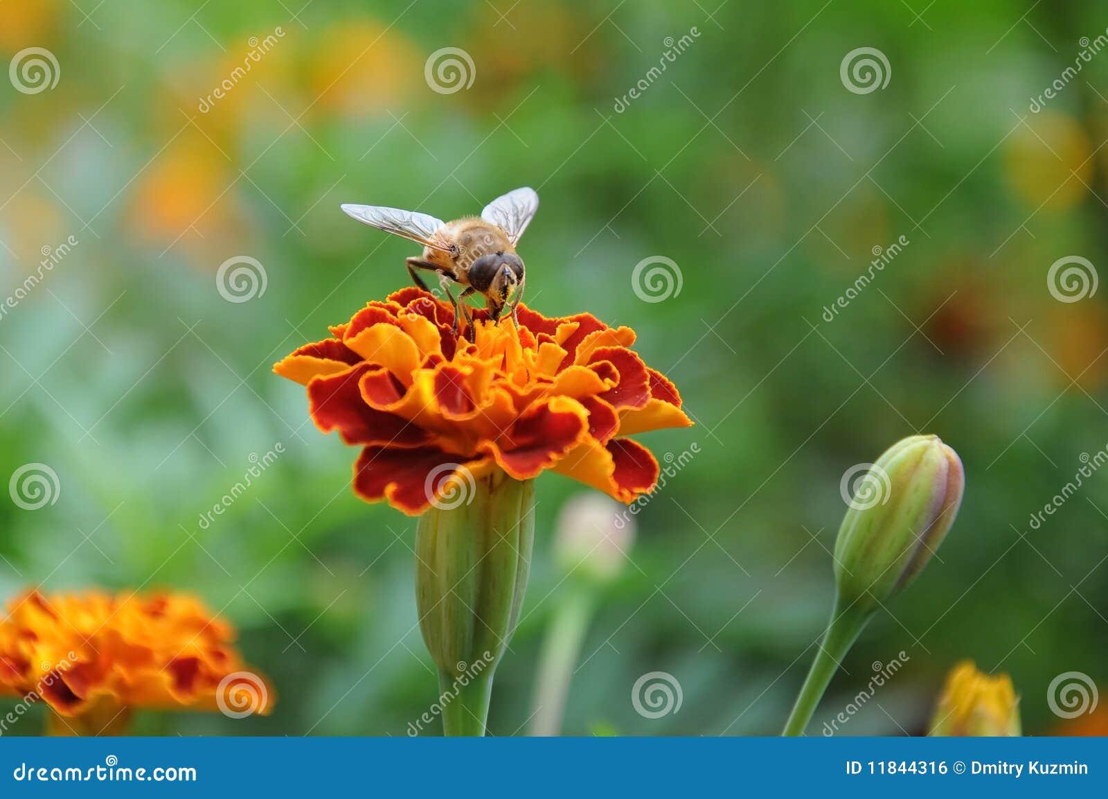 Abejón en una flor