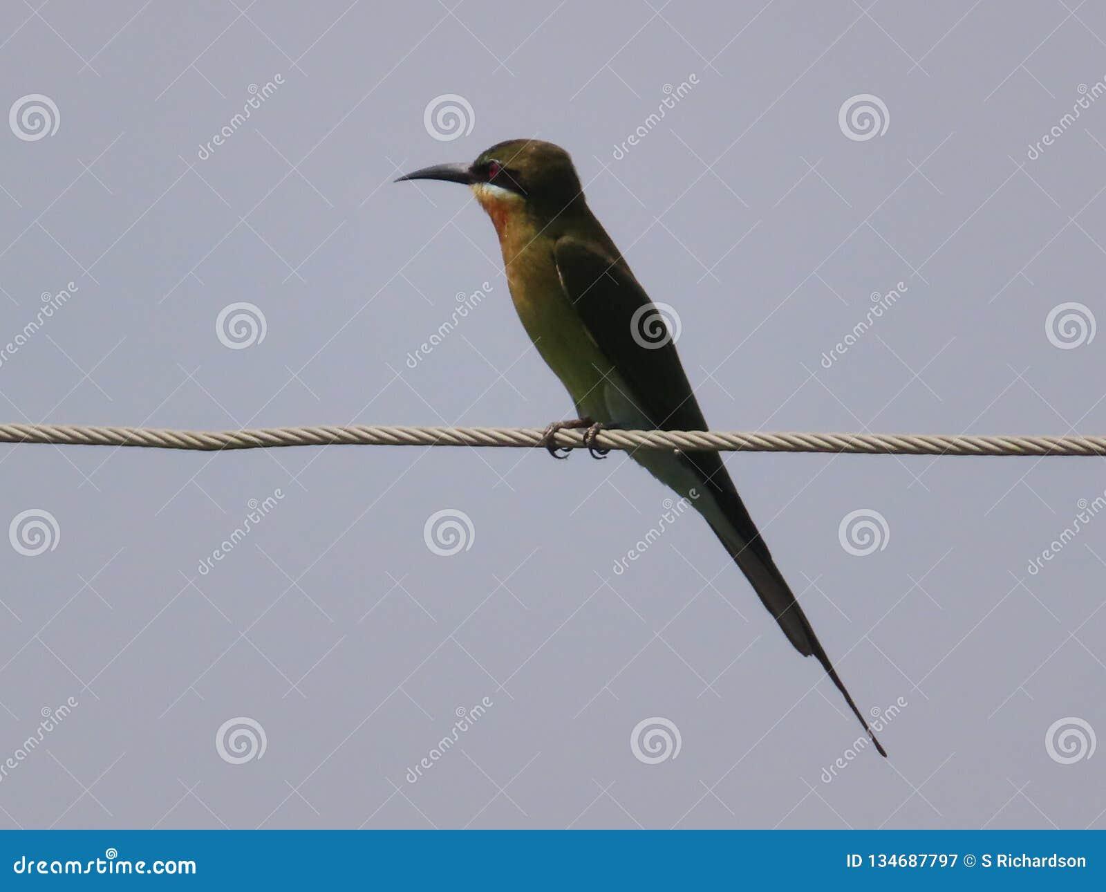 Abeja-comedor verde en el alambre