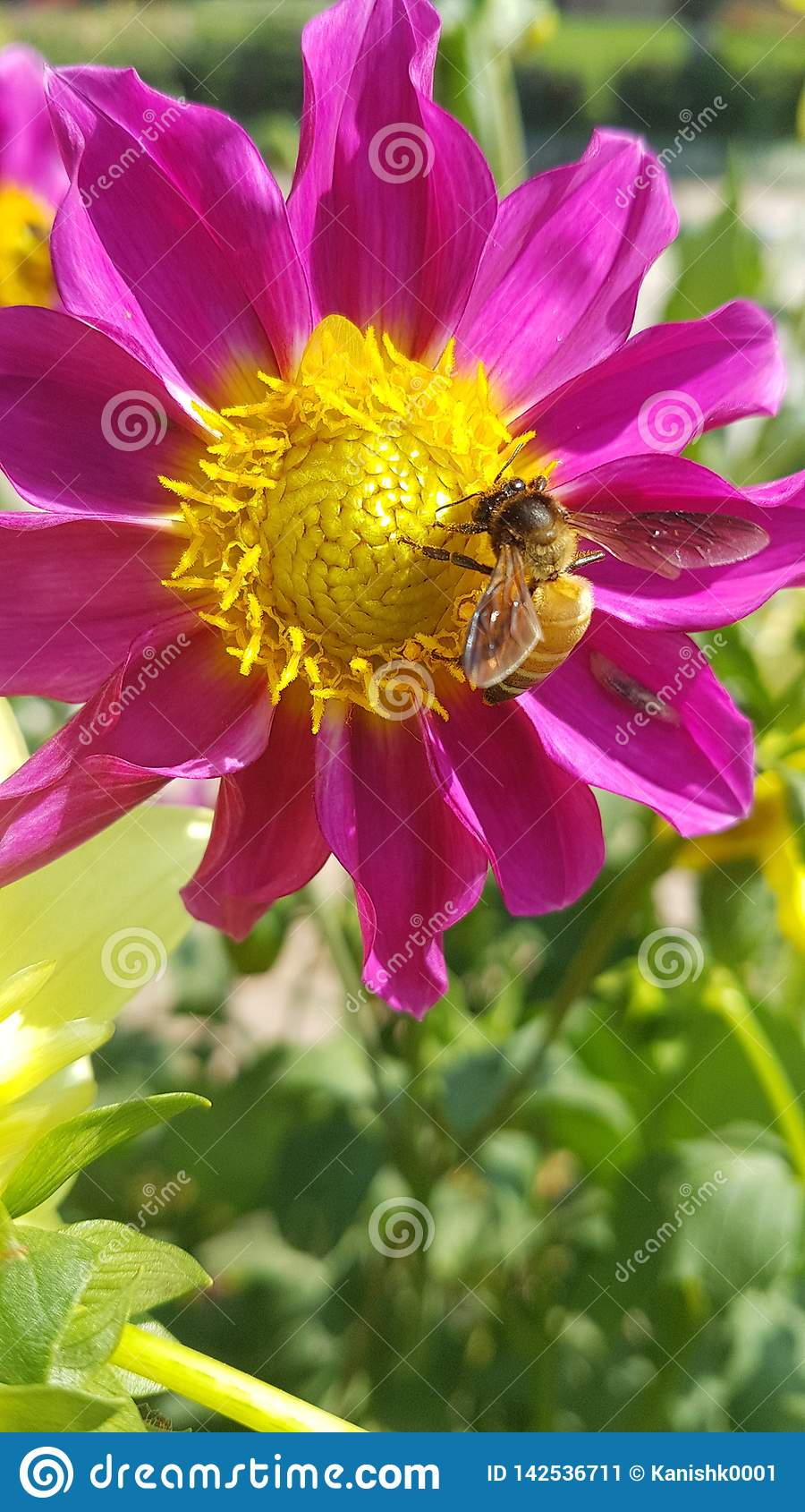 Abeja de la miel en la acción