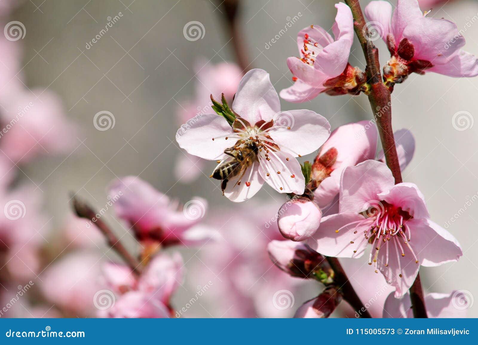 Abeja de la miel en el flor del melocotón de la flor, estación de primavera el árbol florece fruta Flores, brotes, y ramas del ár