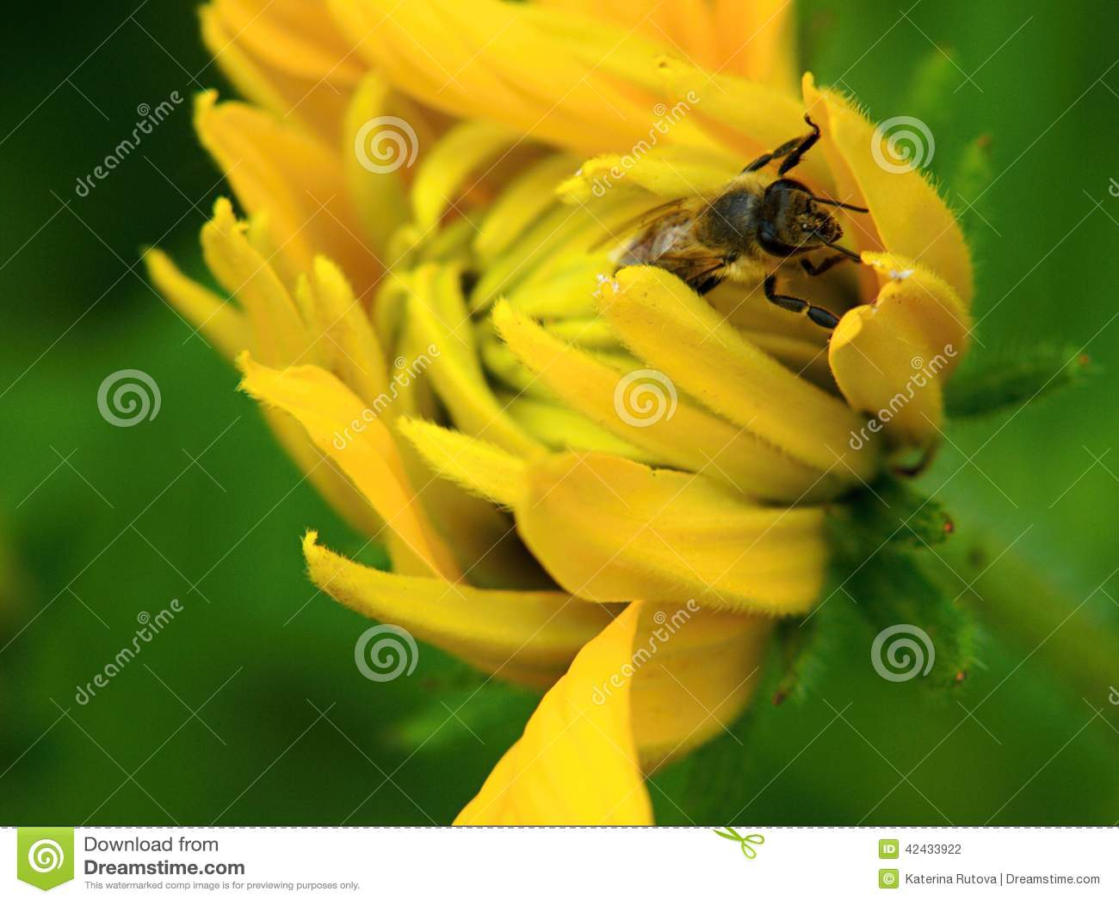Abeja de la miel en una flor amarilla