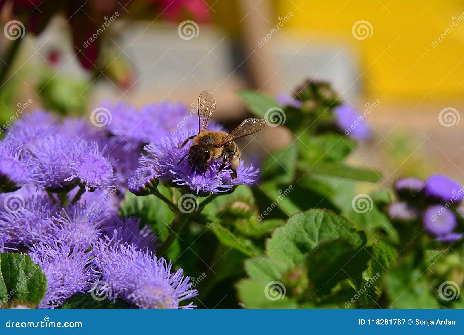 Abeja de la miel en una flor púrpura cierre-ap
