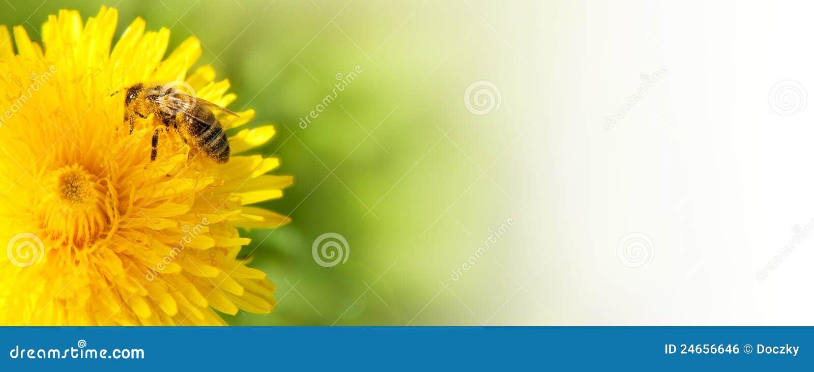 Abeja de la miel que recoge el néctar de la flor del diente de león.