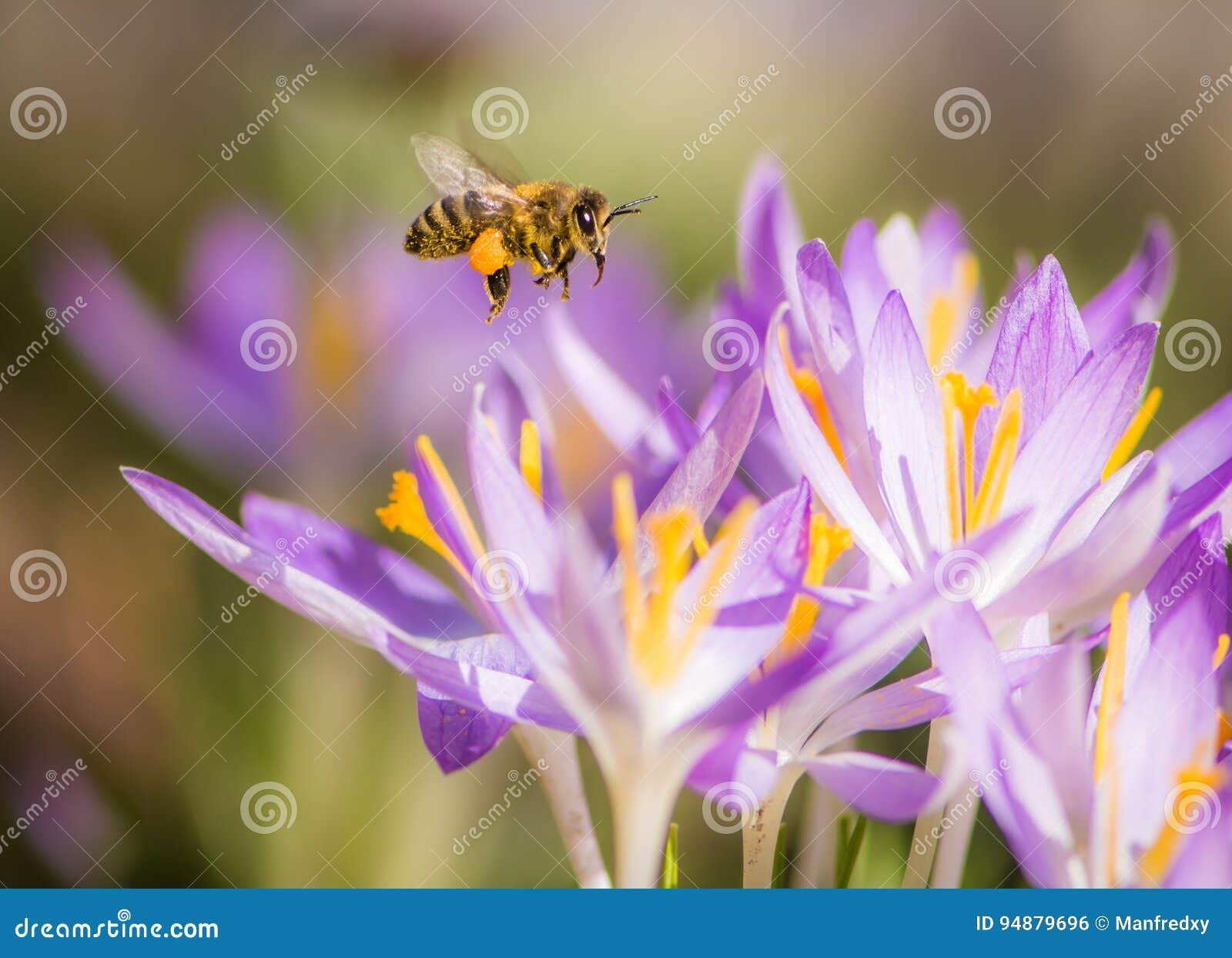 Abeja del vuelo que poliniza una flor púrpura del azafrán