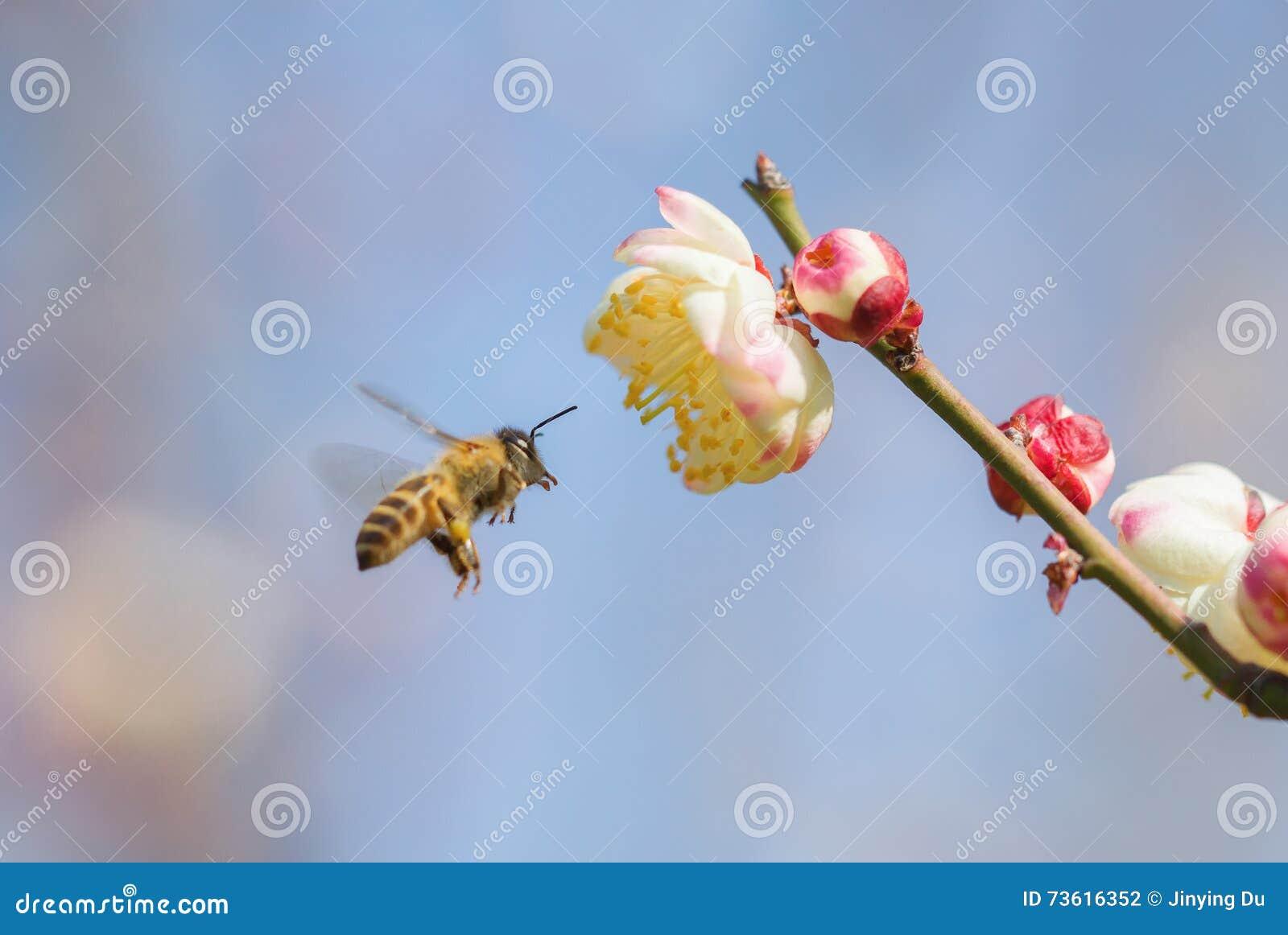 Abeja del vuelo y flor del melocotón
