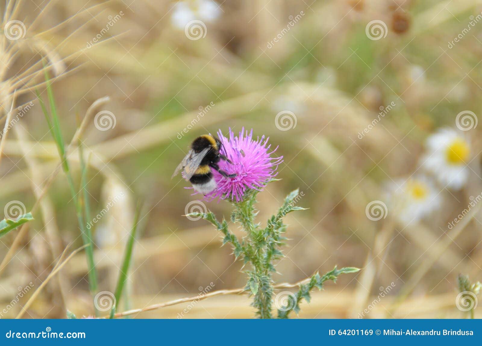 Abeja en la flor del cardo