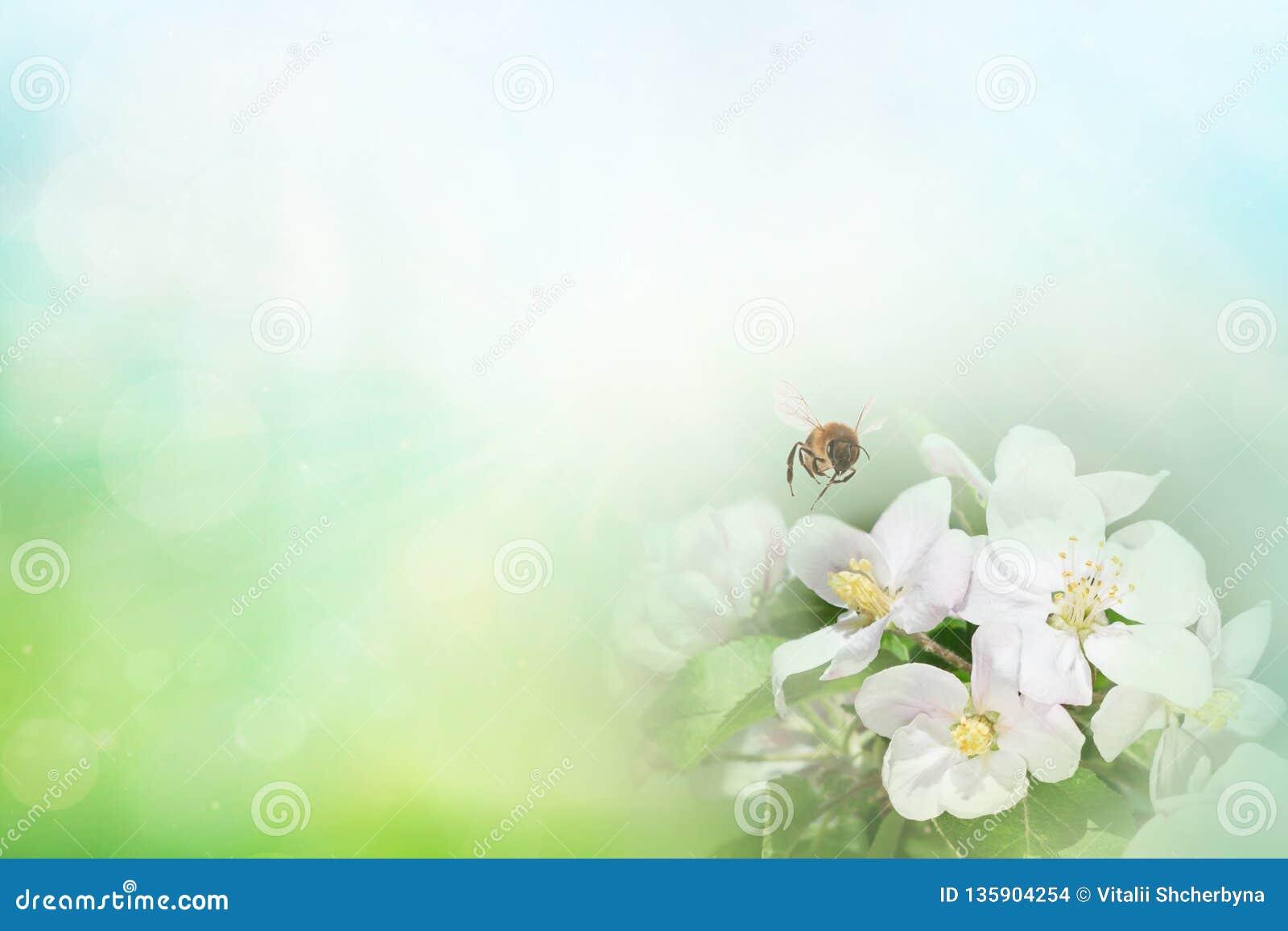 Abeja en la rama de la cereza del flor en macro del primer de la primavera en la naturaleza en fondo floral azul verde y amarillo