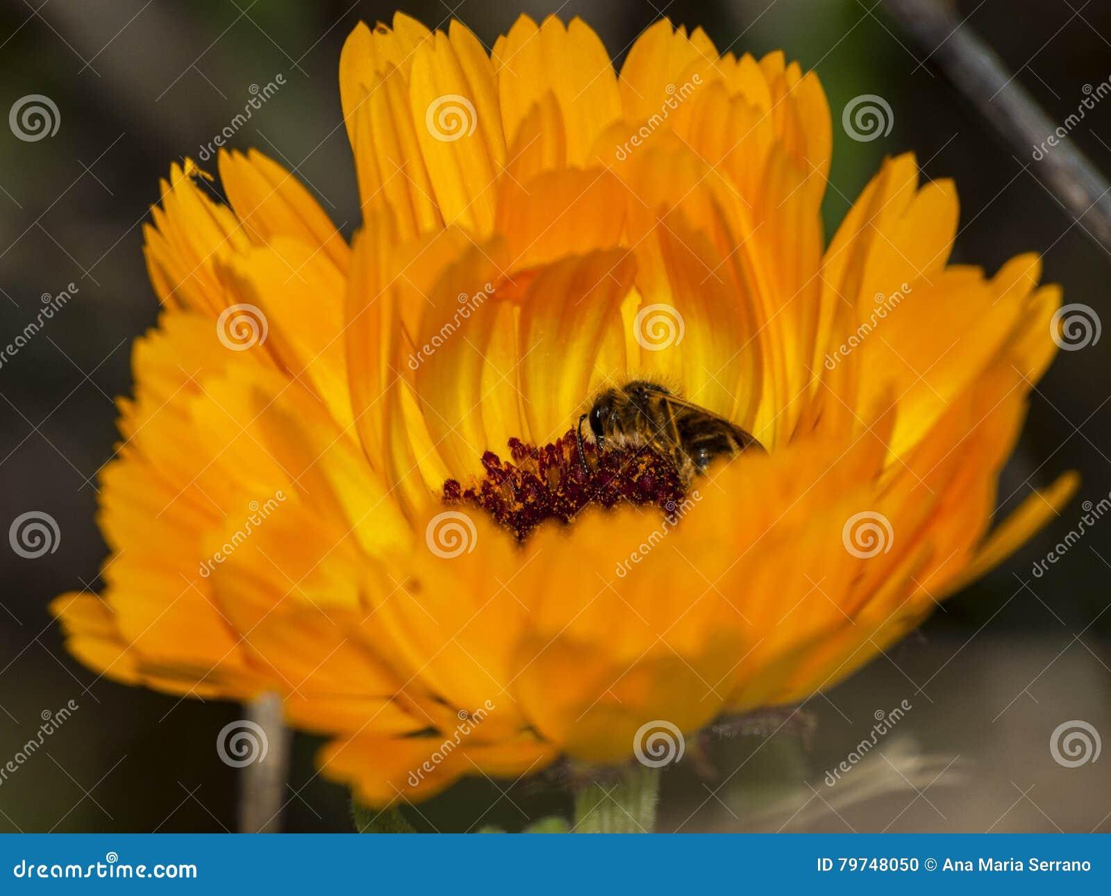 Abeja en una flor anaranjada