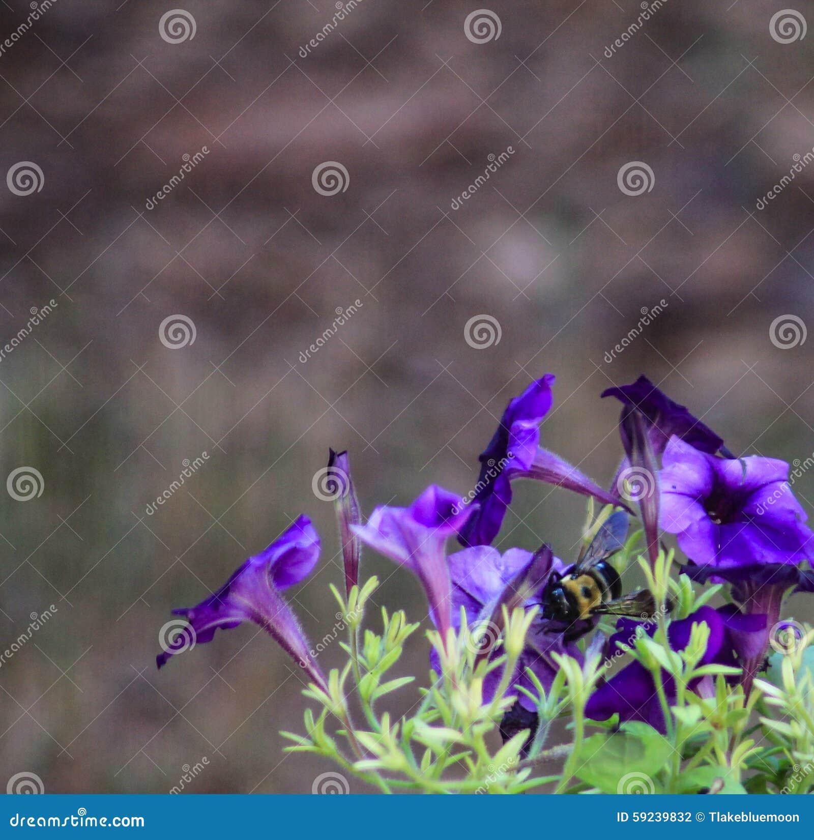 Download Abeja Púrpura De La Petunia En Centro Foto de archivo - Imagen de púrpura, blur: 59239832