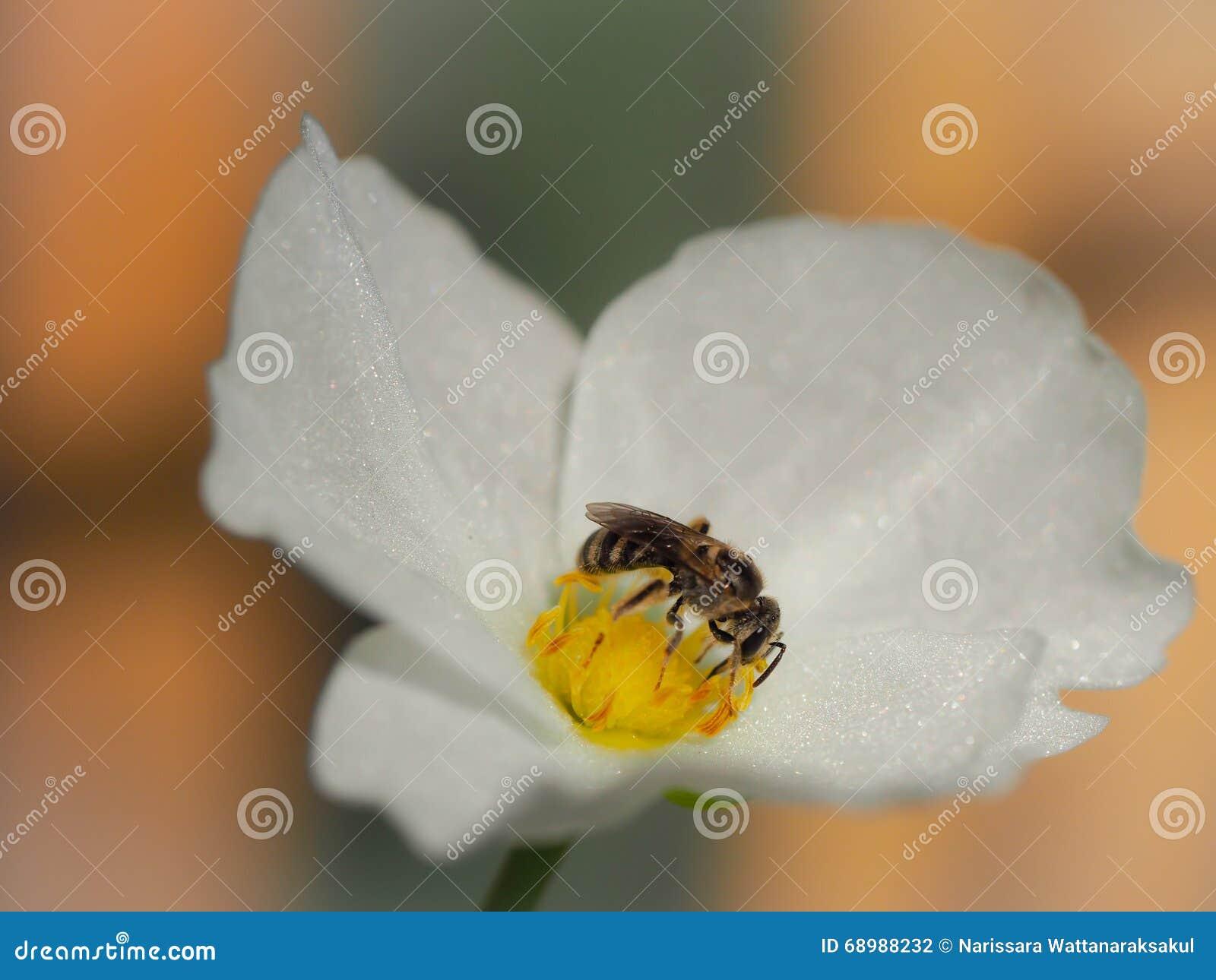 Abeja que chupa el néctar de una flor