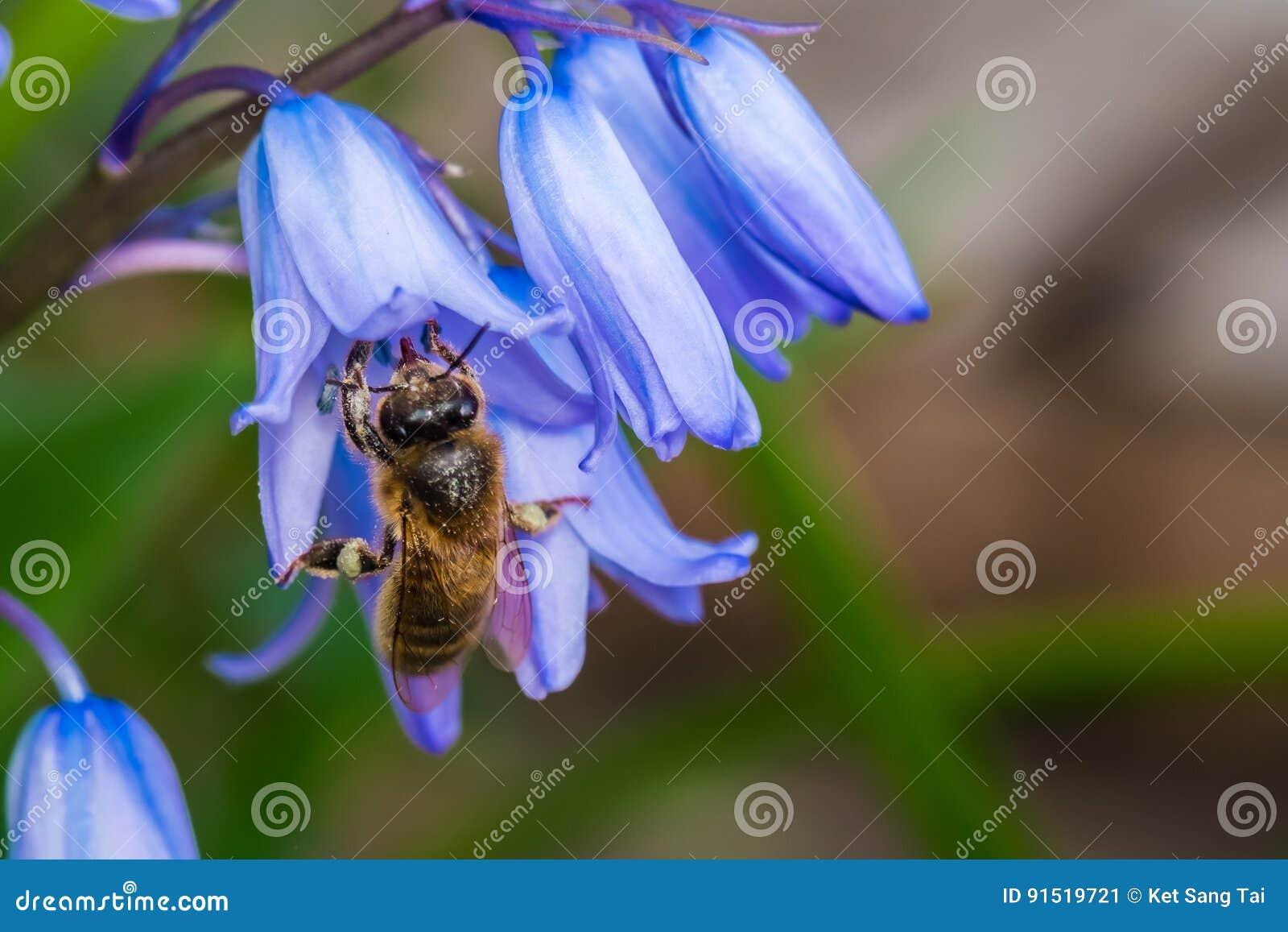 Abeja que recolecta el néctar de campanillas