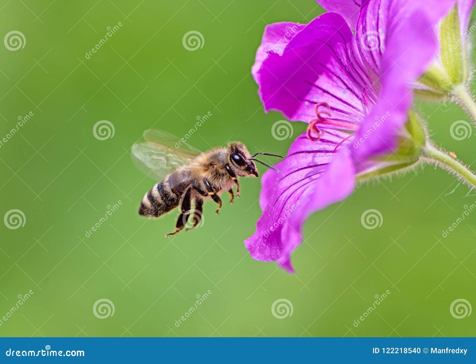 Abeja que vuela a un flor púrpura de la flor del geranio