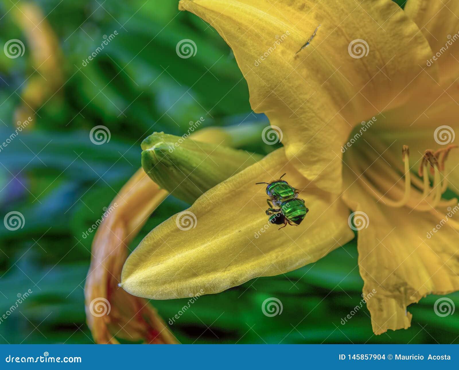 Abeja verde de la orquídea que asoma cerca de un daylily amarillo