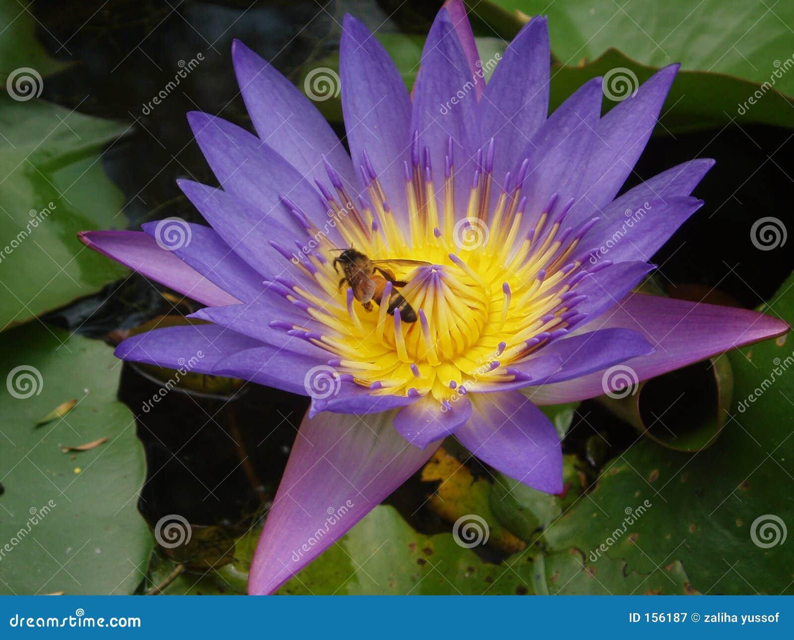 Abeja y loto púrpura
