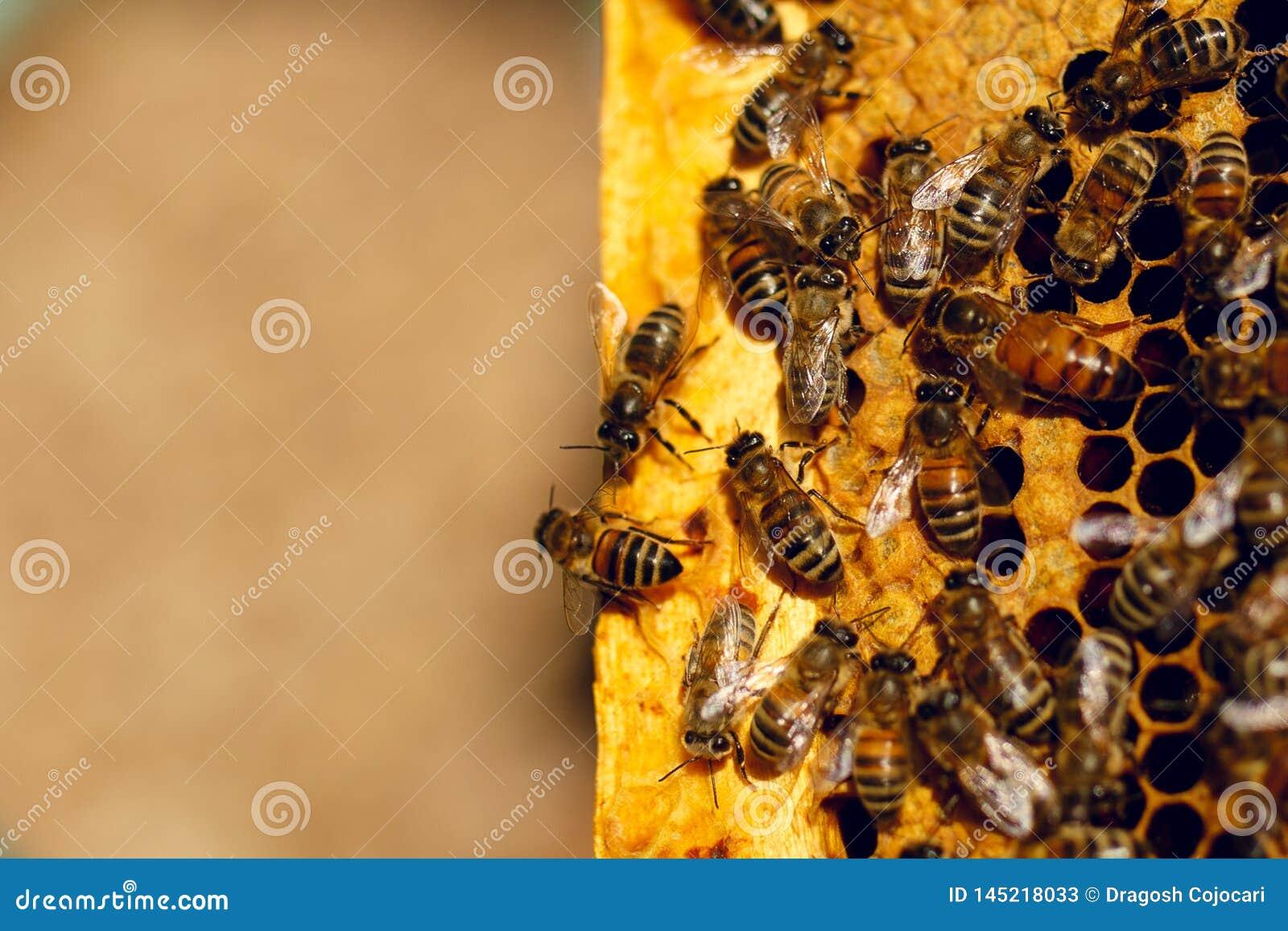 Abejas de la miel en una colmena en el panal Ciérrese para arriba de abeja de la miel en panal Enjambre del trabajador de la abe