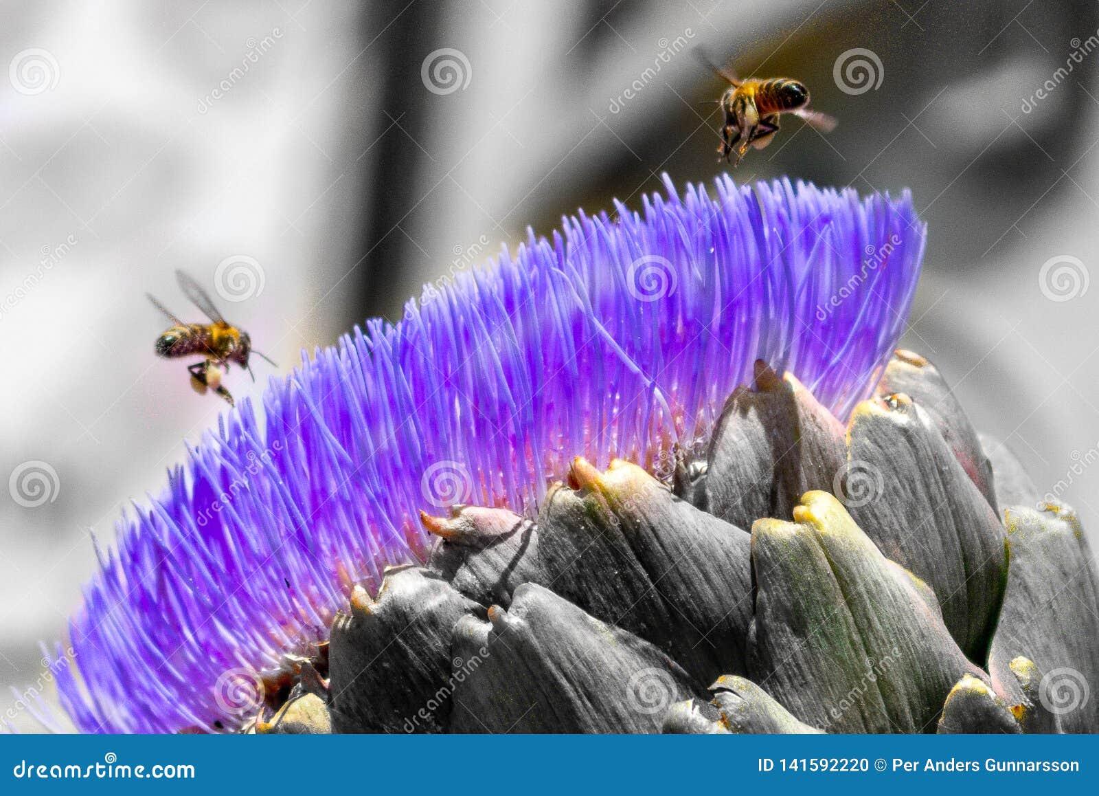 Abejas en la flor de la alcachofa