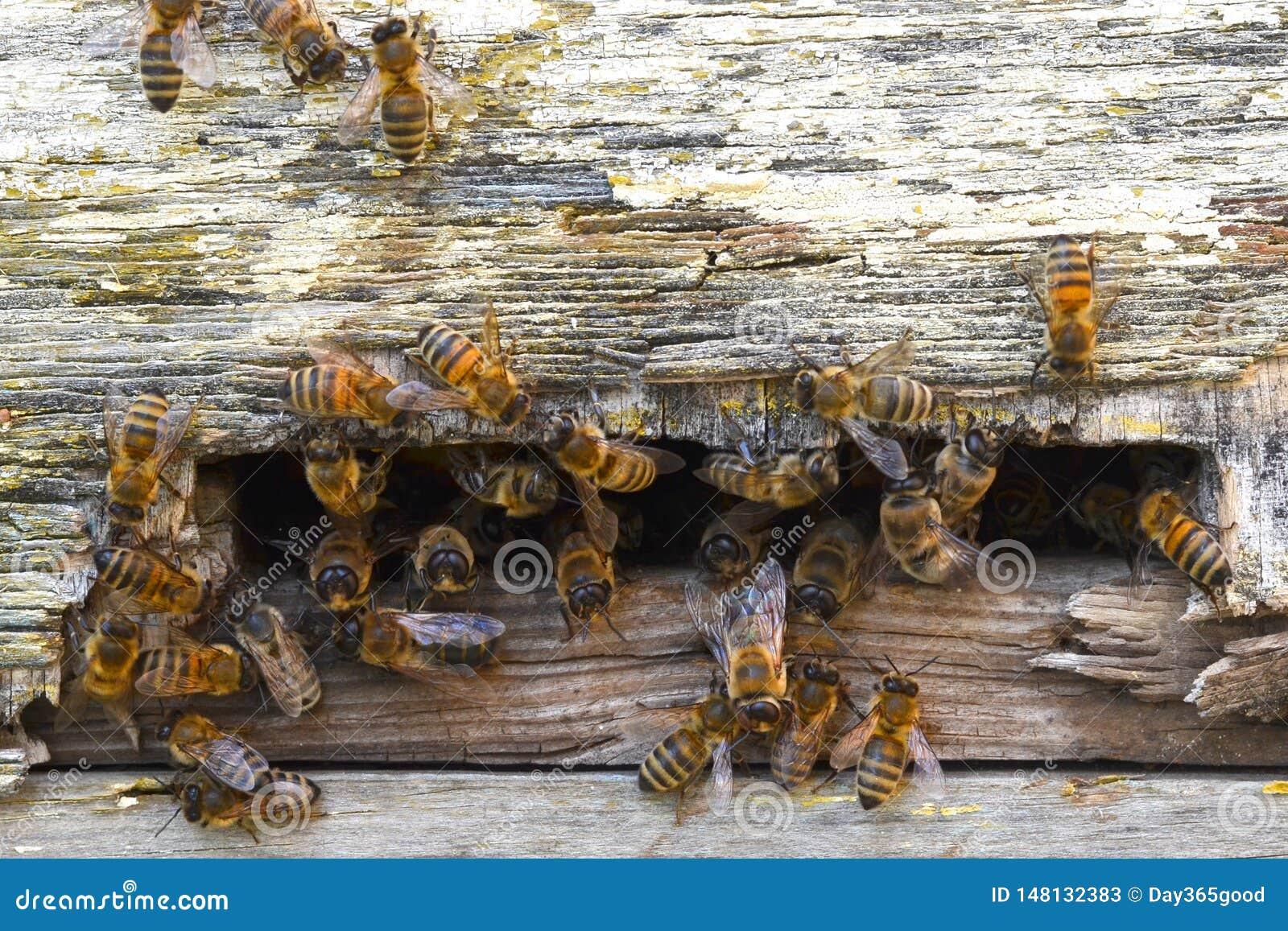 Abejas que vuelan de la colmena Familia de la abeja