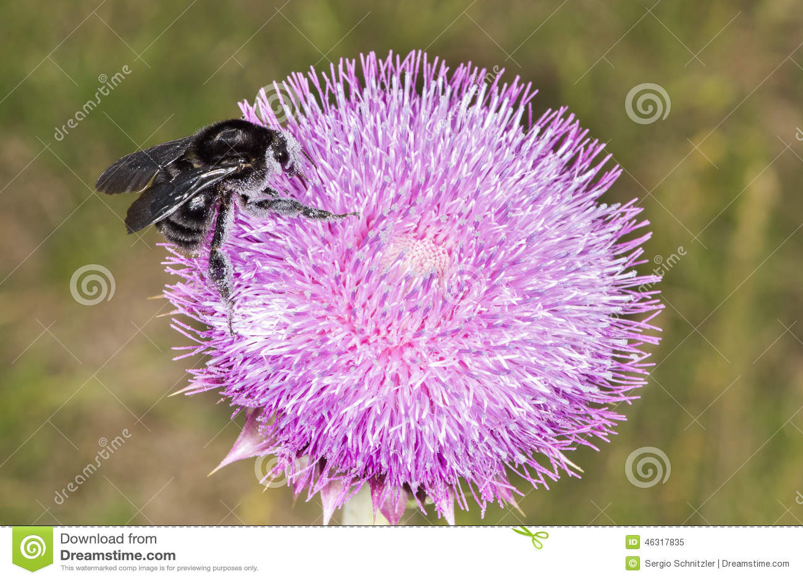 Abejorro en la flor 02 del cardo