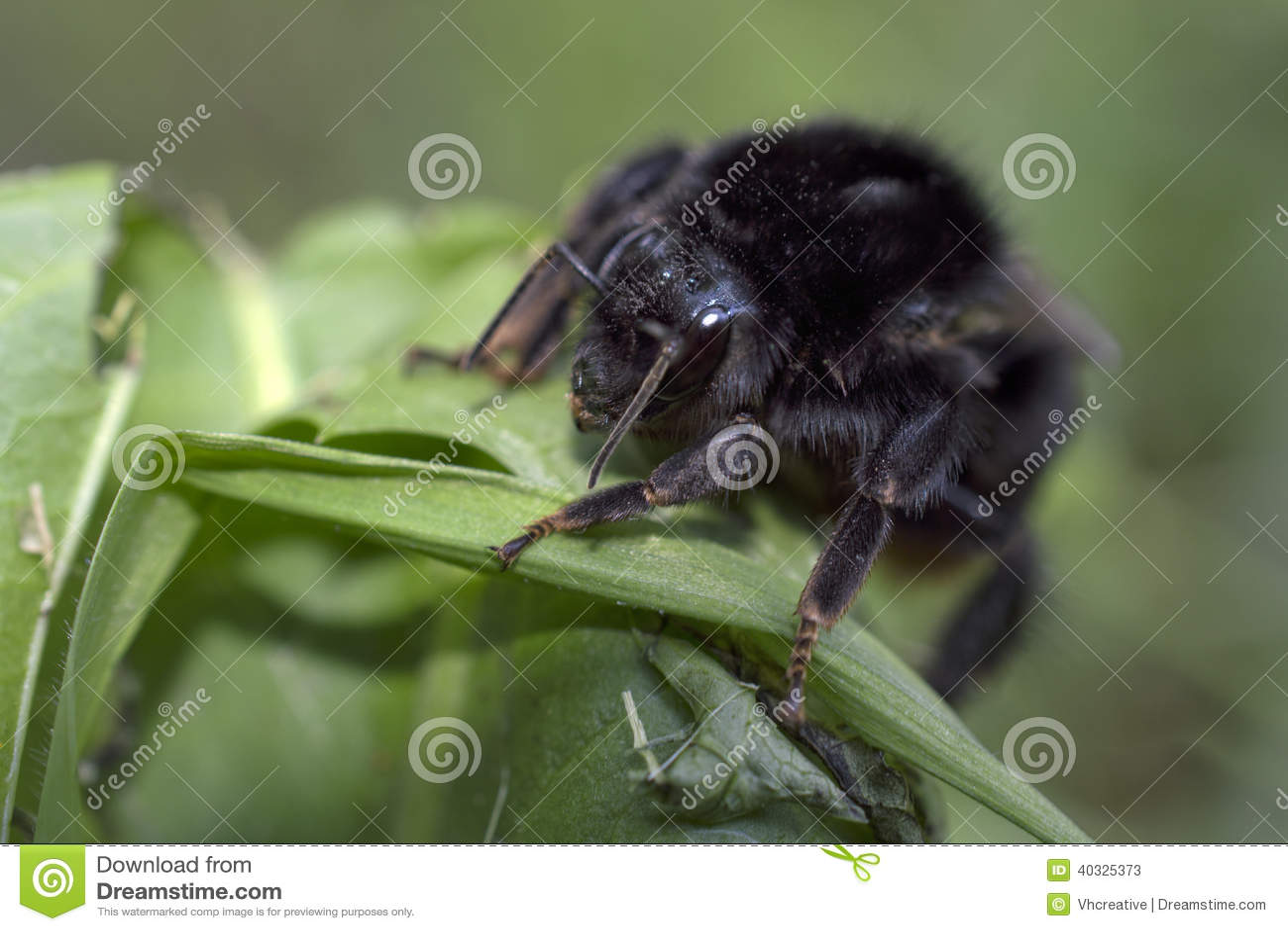 Abejorro Negro En Hierba Verde Imagen de archivo - Imagen de prado ...