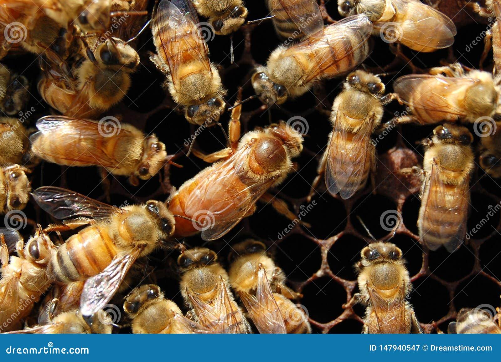 A abelha de rainha e seu séquito