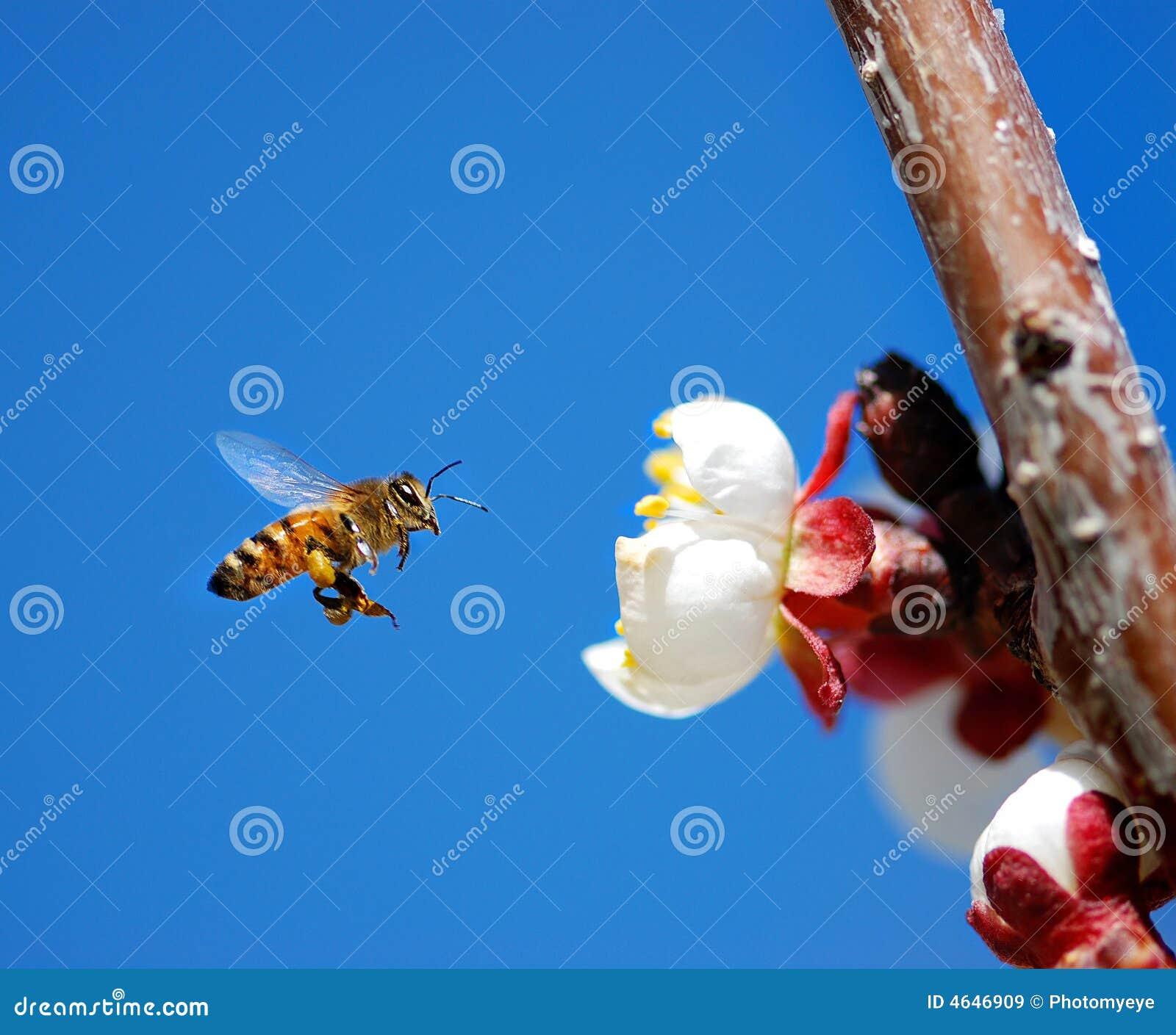 Abelha do mel do vôo