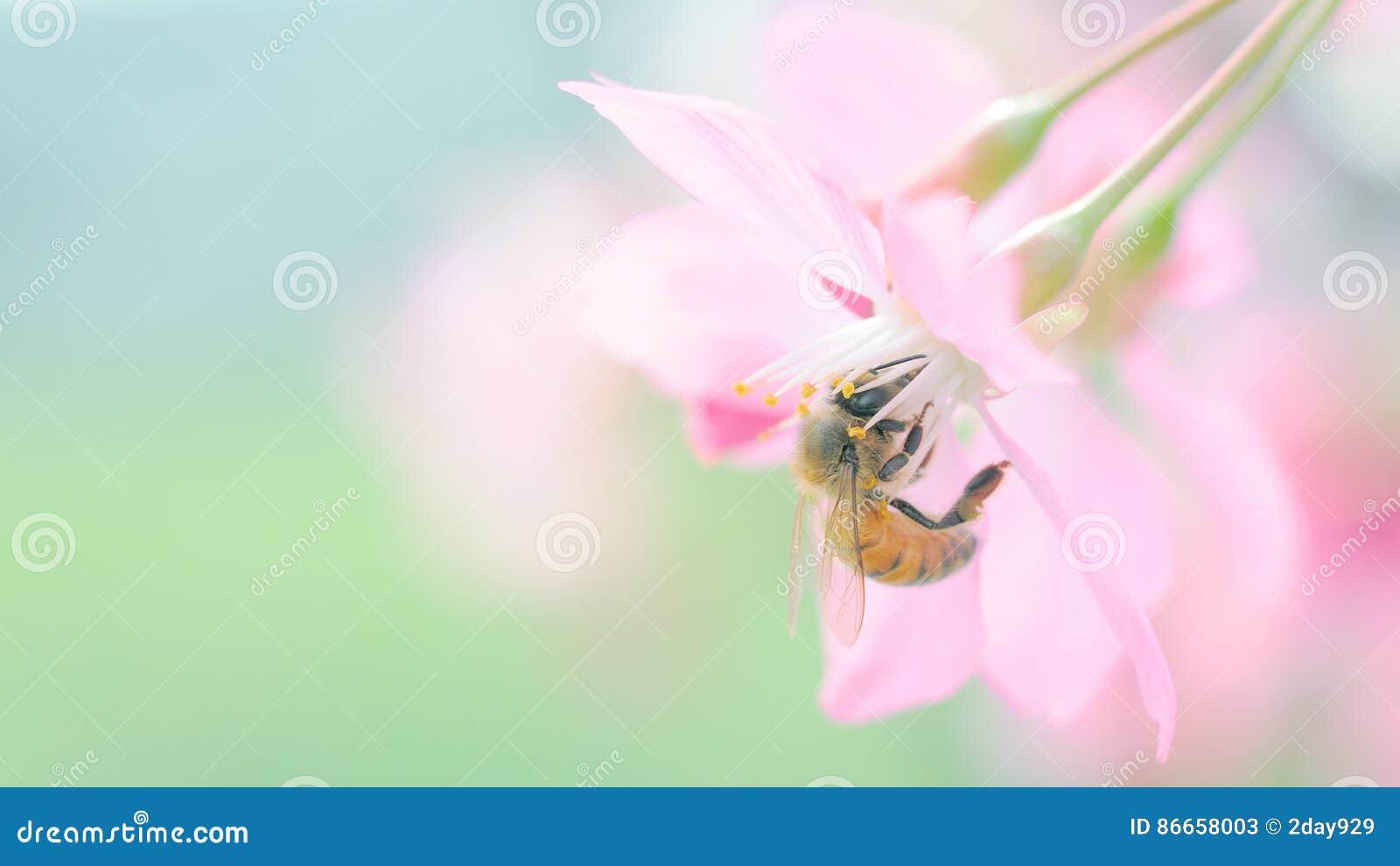 Abelha e flor de cerejeira