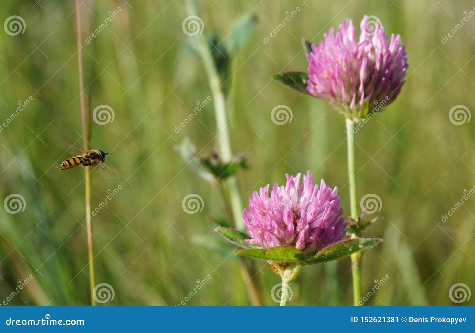 Abelha e trevo de voo no campo do verão