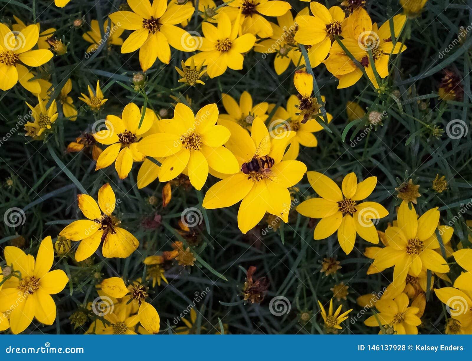 Abelha em flores amarelas com escuro - fundo verde