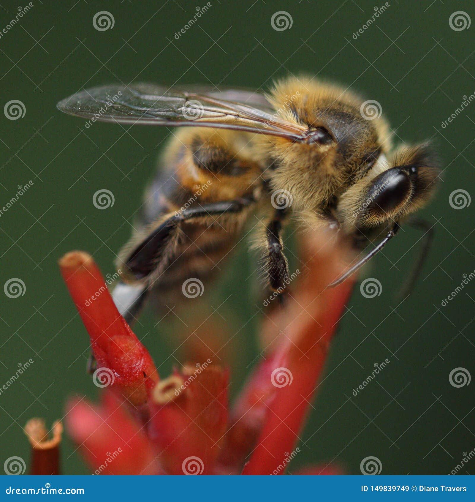 Abelha em meu jardim que alimenta em uma flor 149733349