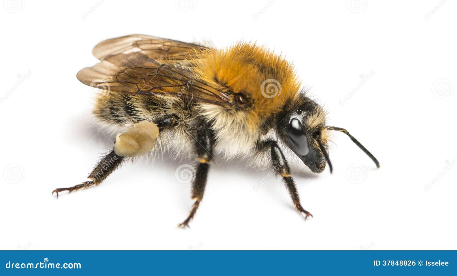 Abelha europeia do mel, mellifera dos Apis, isolado