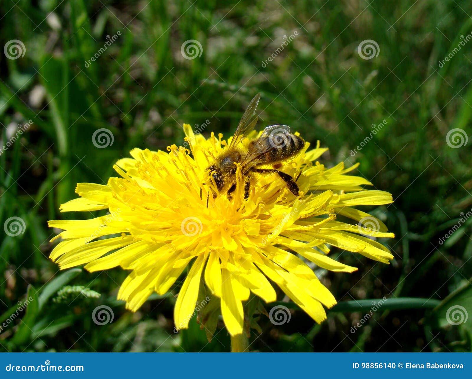 A abelha foi coberta no pólen o dente-de-leão ensolarado