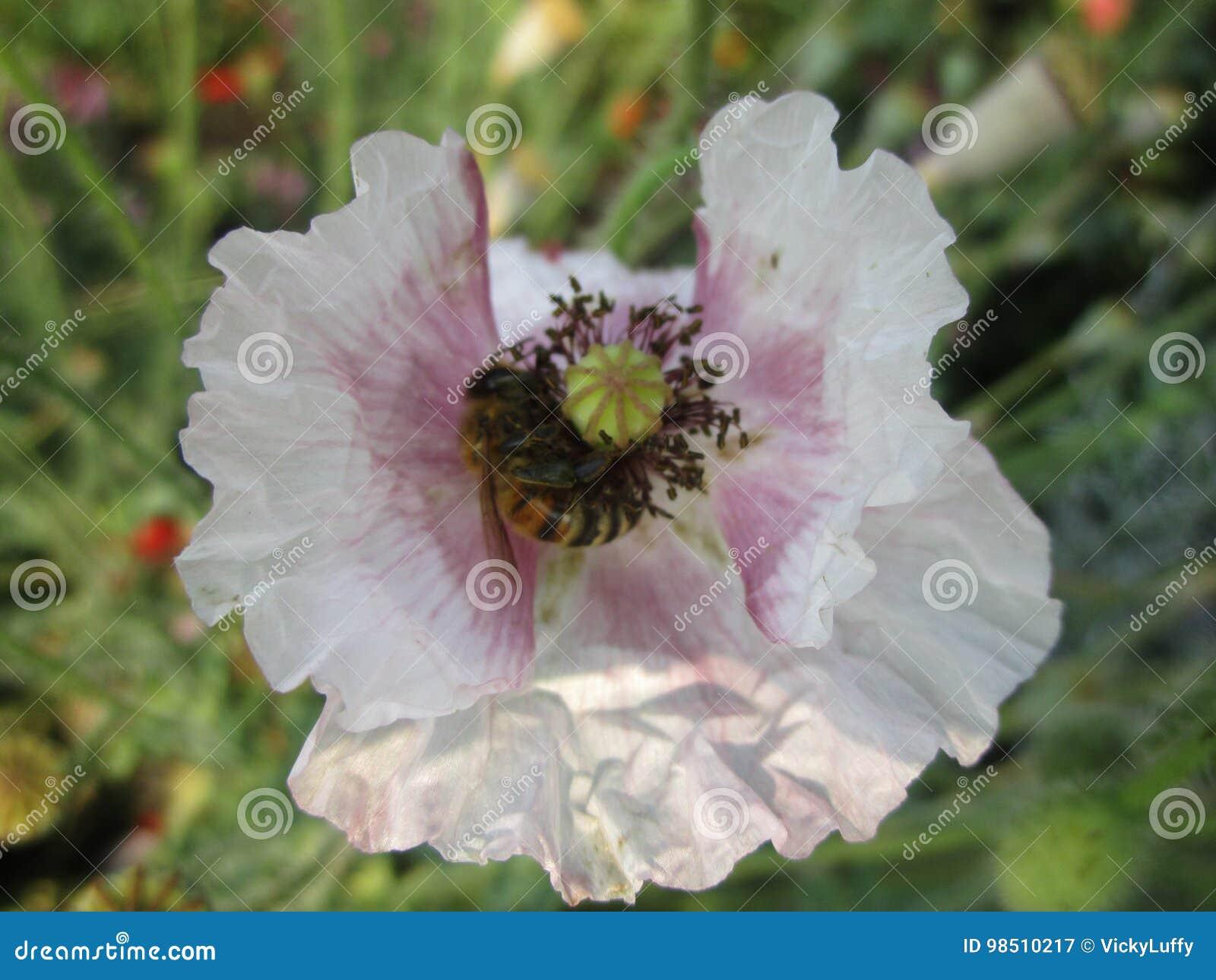 Abelha na flor com pétalas brancas