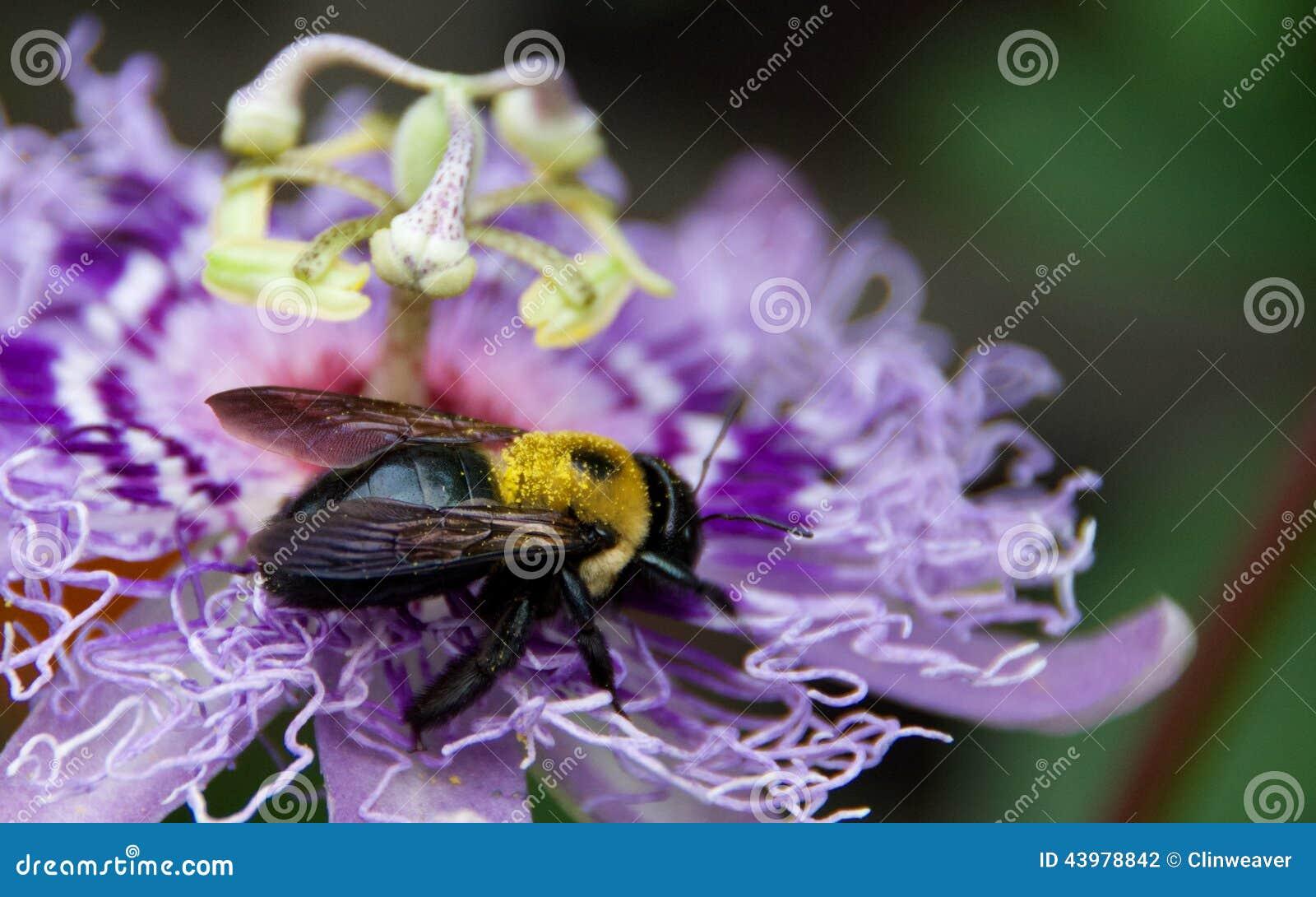 Abelha na flor da paixão